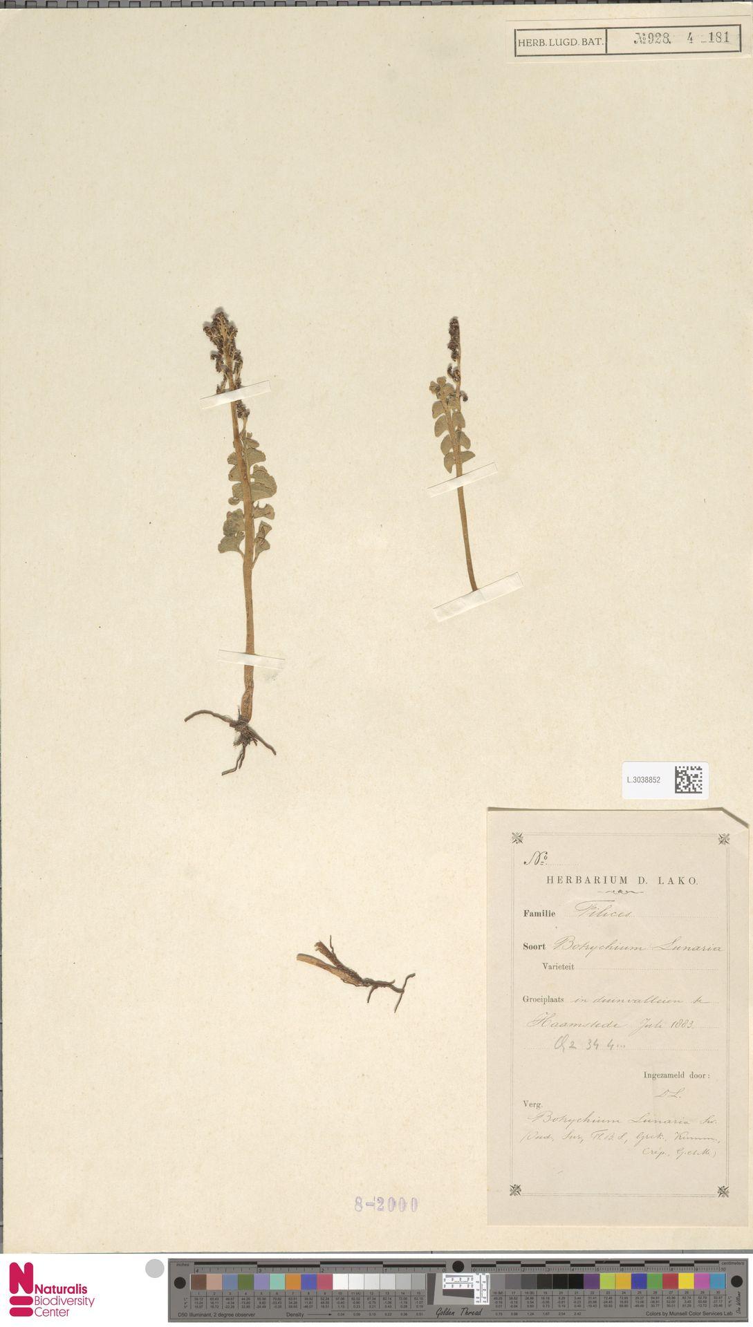 L.3038852 | Botrychium lunaria (L.) Sw.