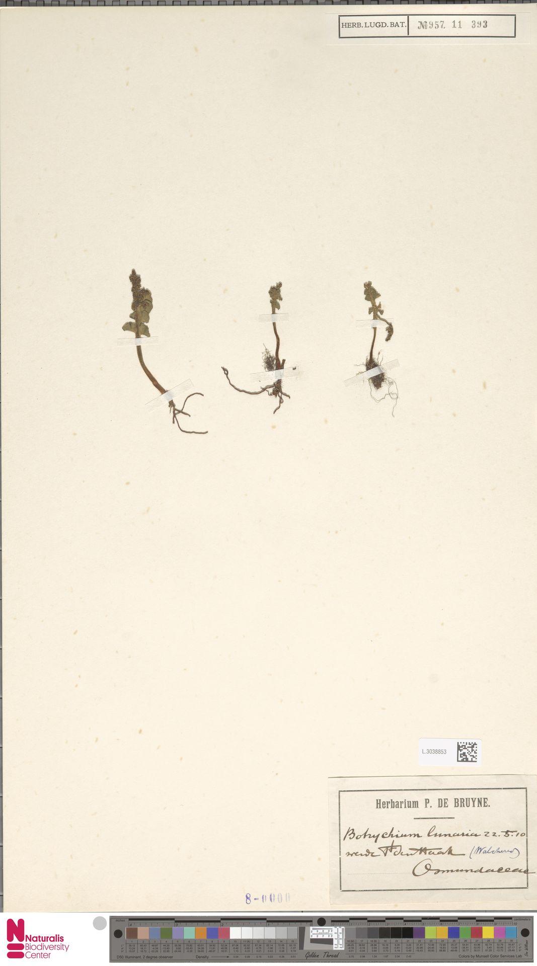 L.3038853 | Botrychium lunaria (L.) Sw.