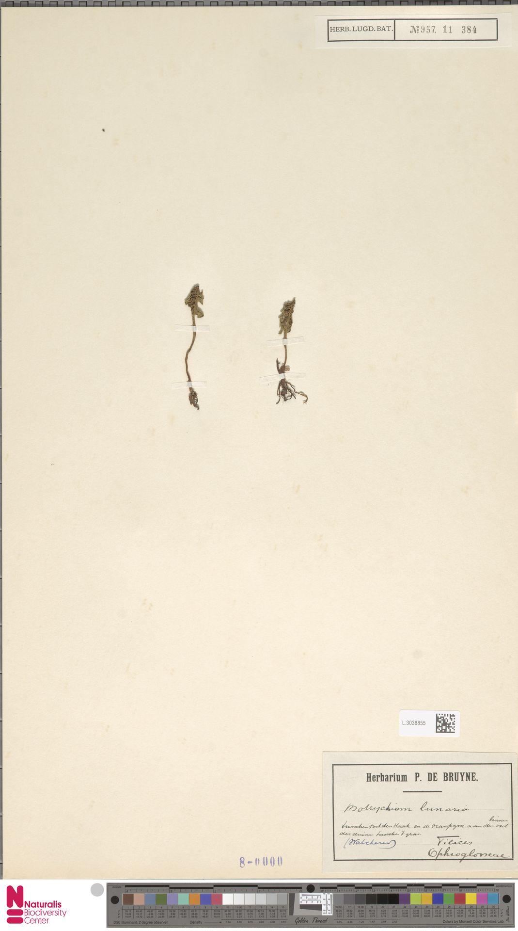 L.3038855 | Botrychium lunaria (L.) Sw.