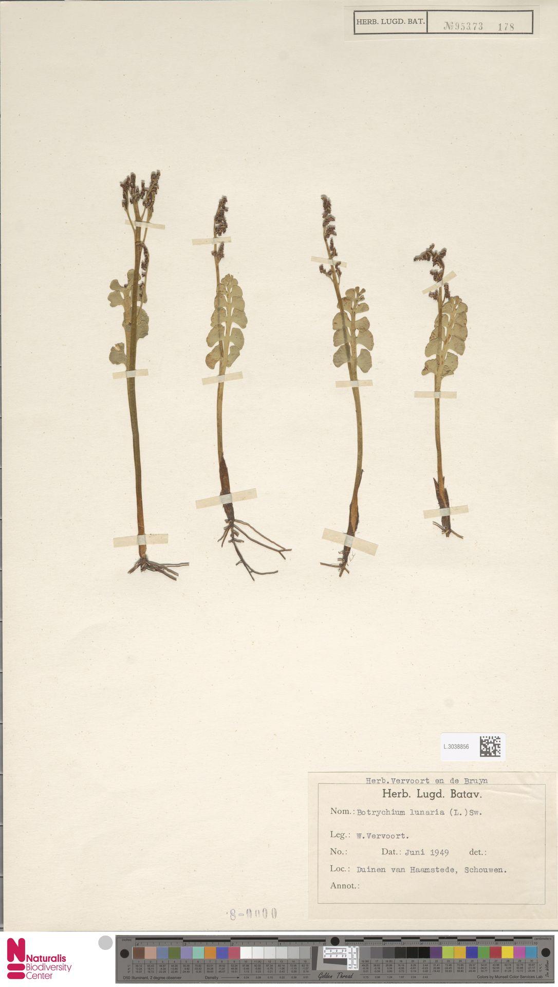 L.3038856 | Botrychium lunaria (L.) Sw.