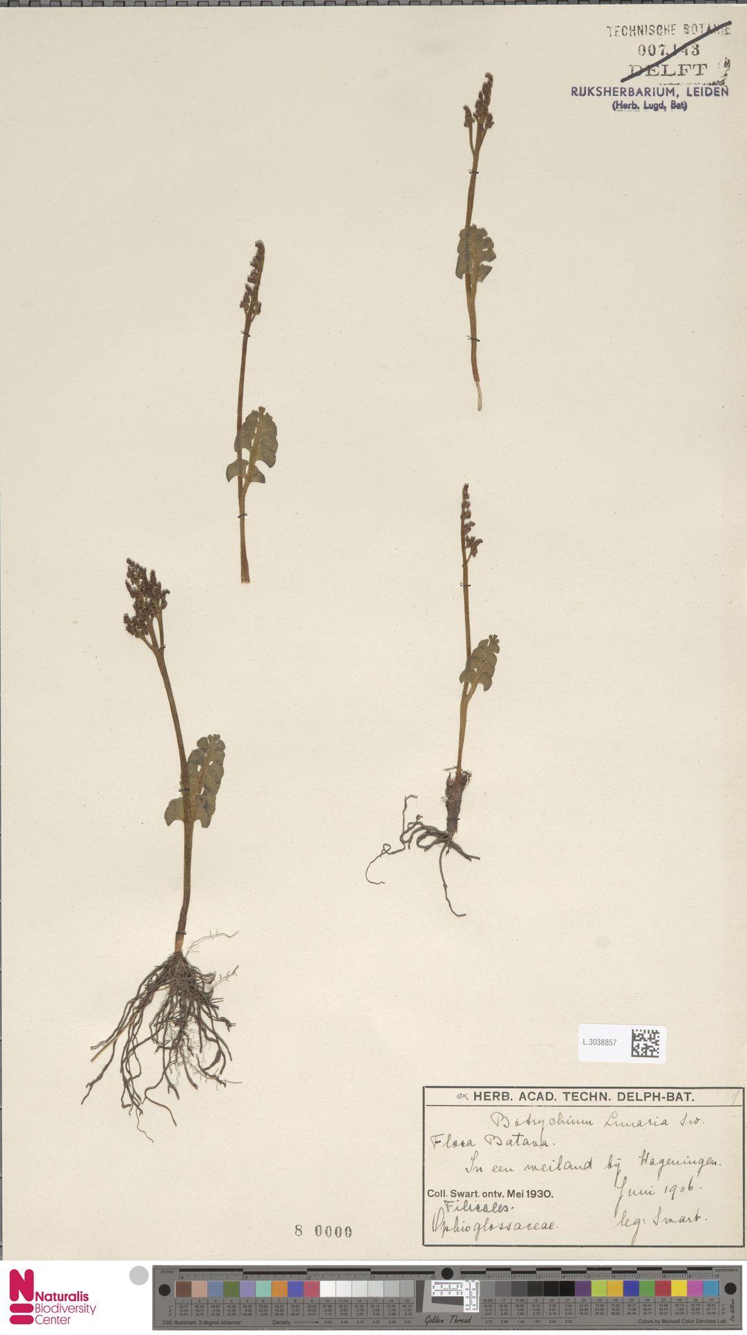 L.3038857 | Botrychium lunaria (L.) Sw.