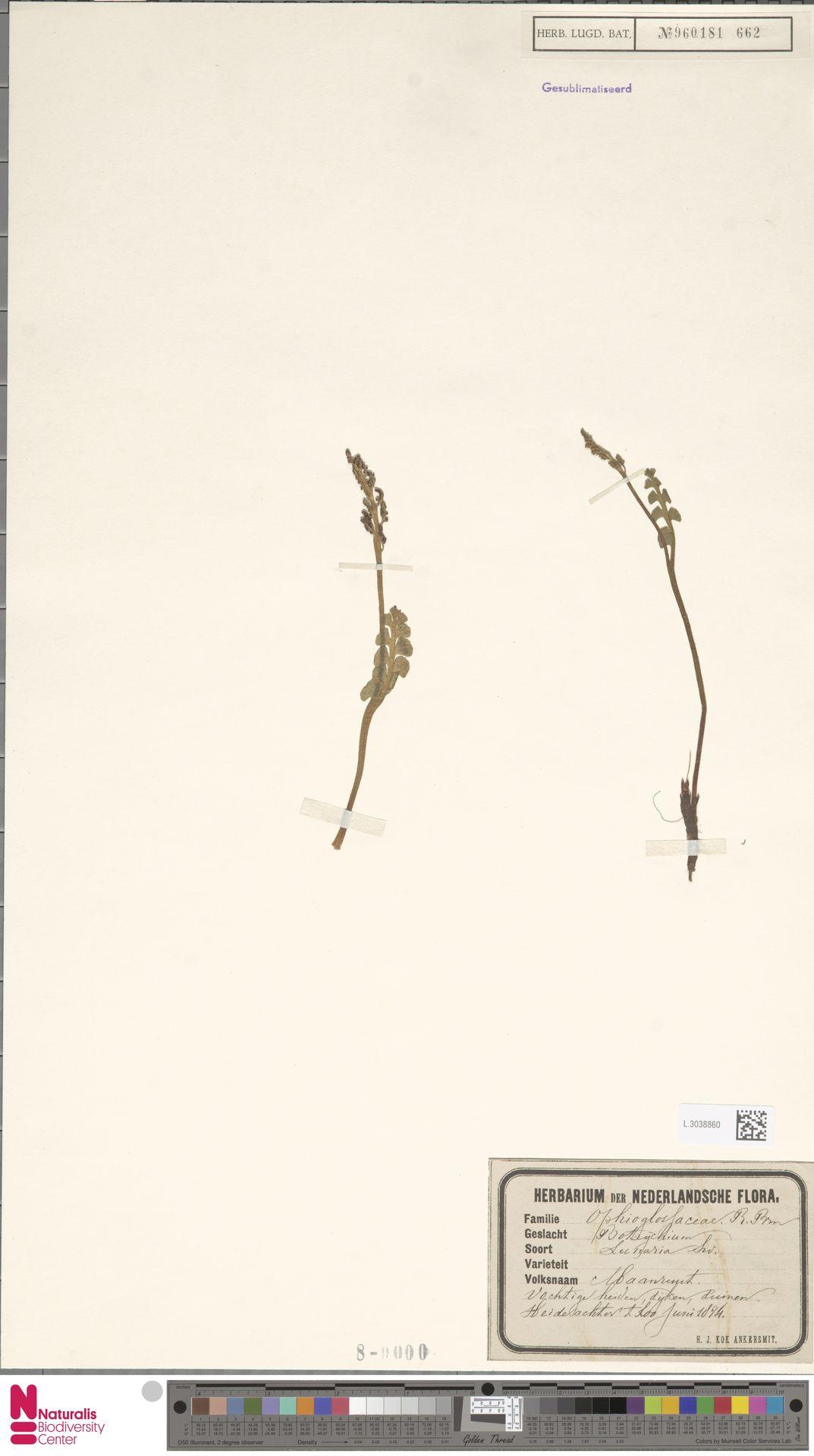 L.3038860 | Botrychium lunaria (L.) Sw.