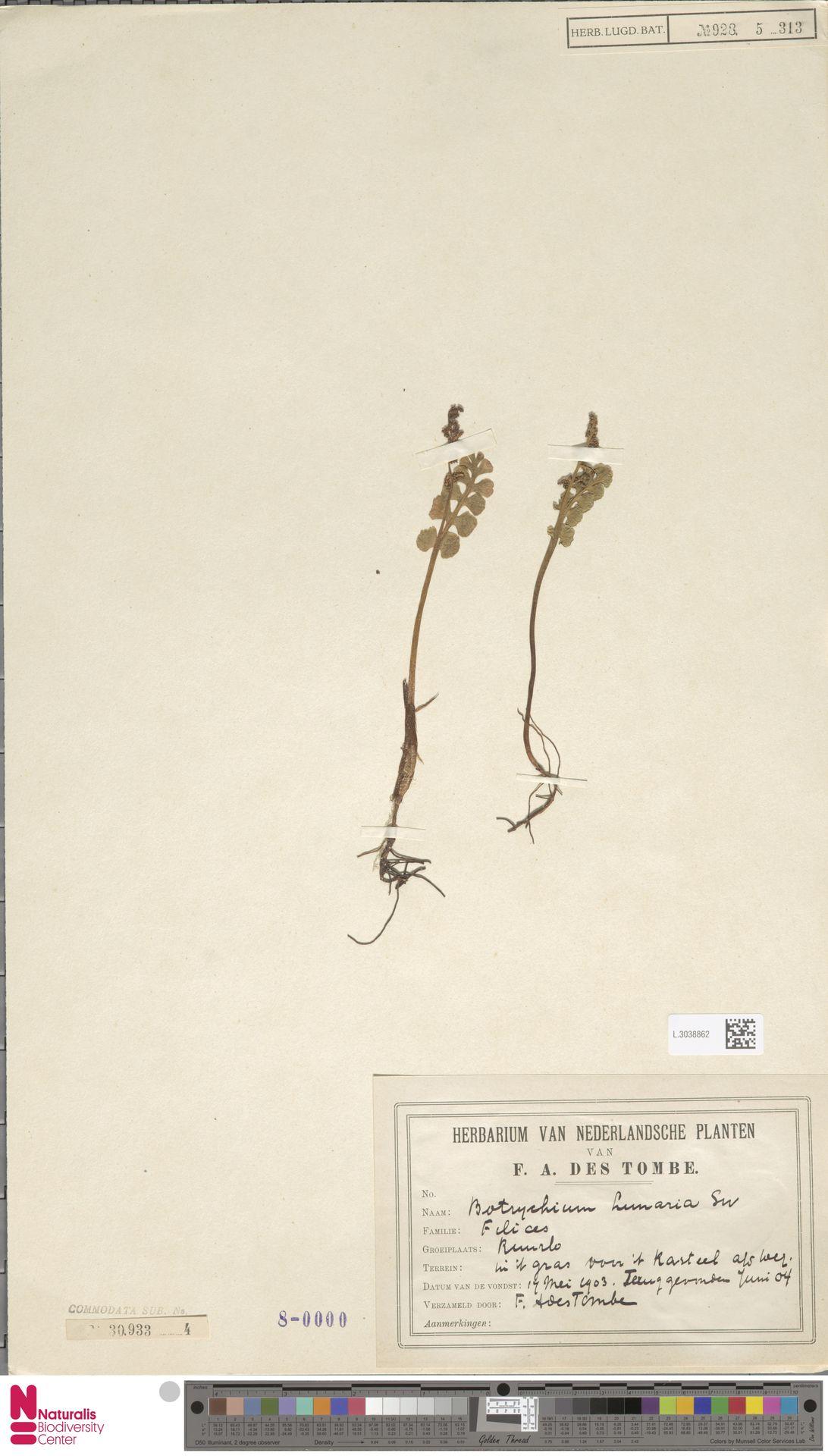 L.3038862 | Botrychium lunaria (L.) Sw.