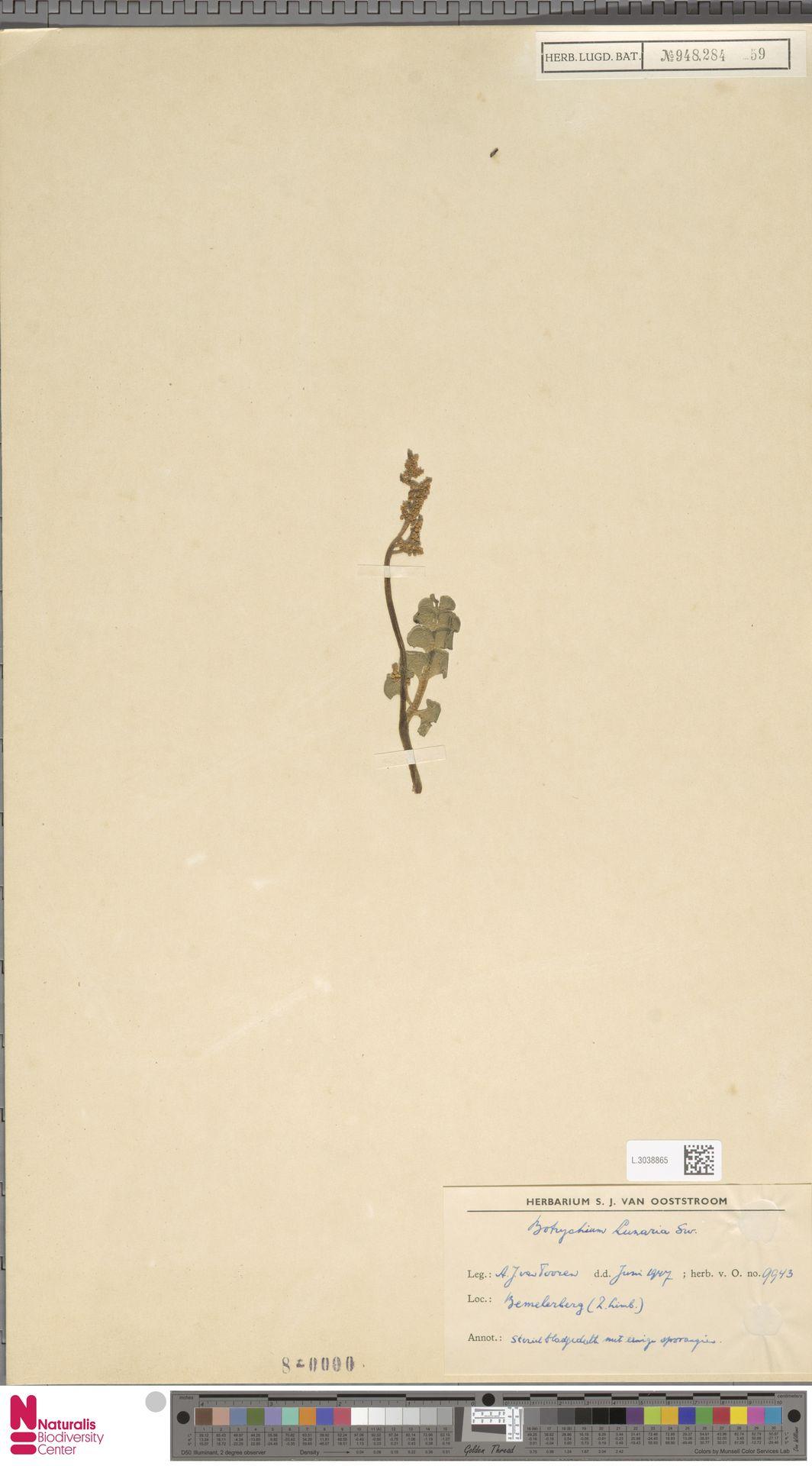 L.3038865 | Botrychium lunaria (L.) Sw.