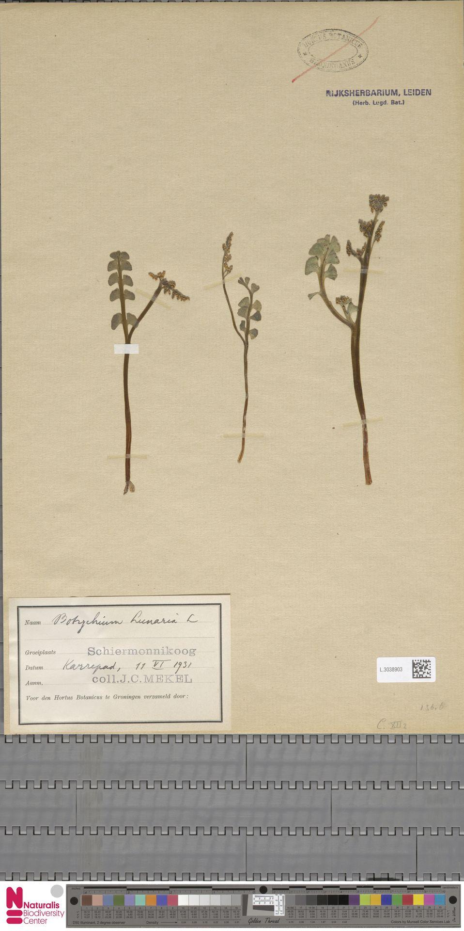 L.3038903 | Botrychium lunaria (L.) Sw.