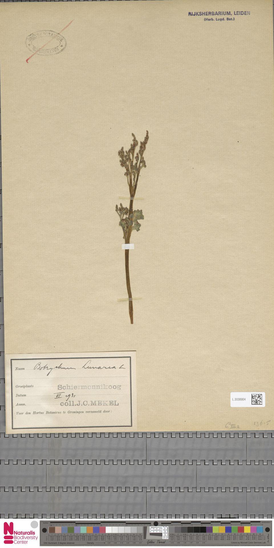 L.3038904 | Botrychium lunaria (L.) Sw.