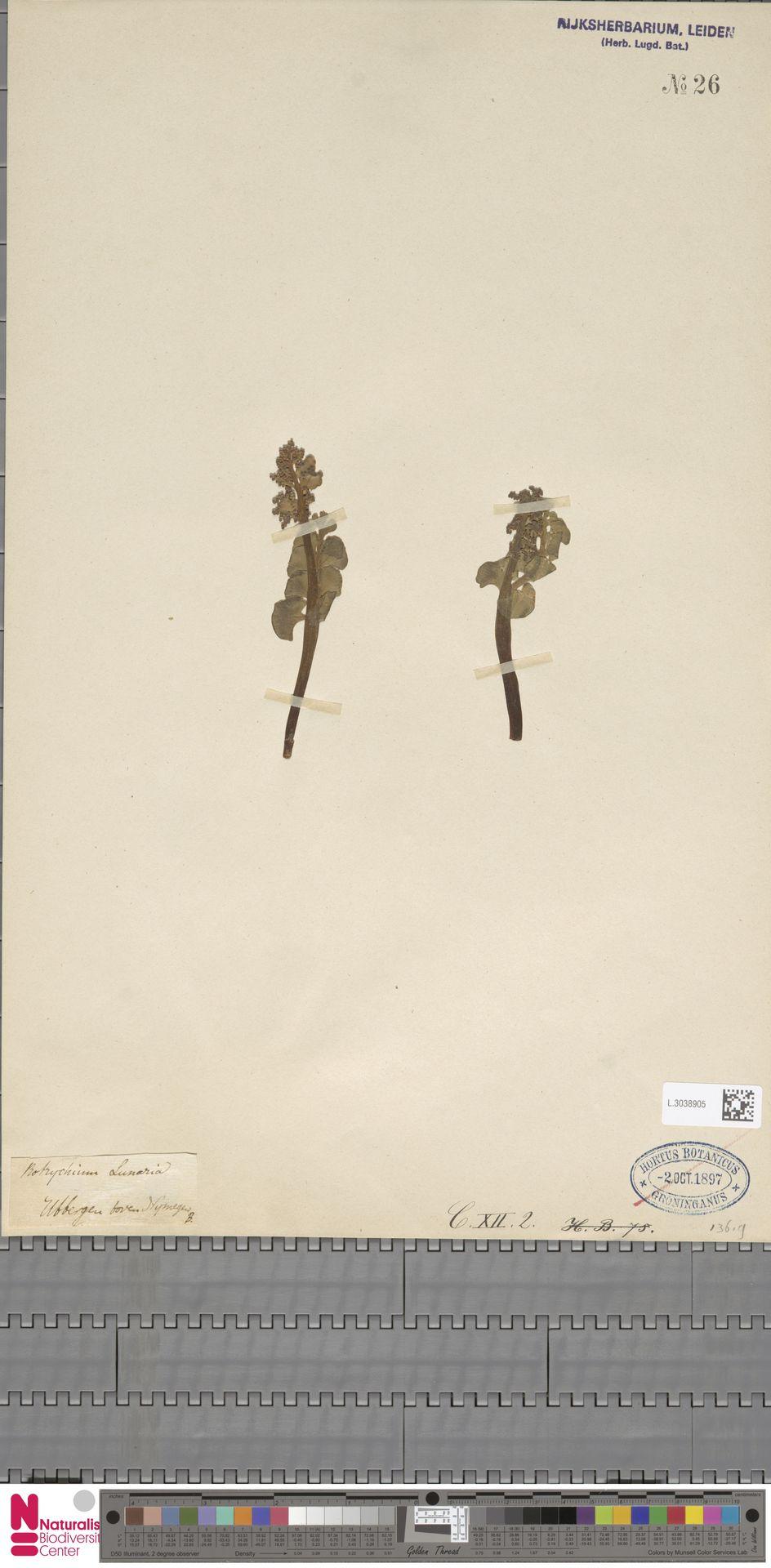 L.3038905 | Botrychium lunaria (L.) Sw.