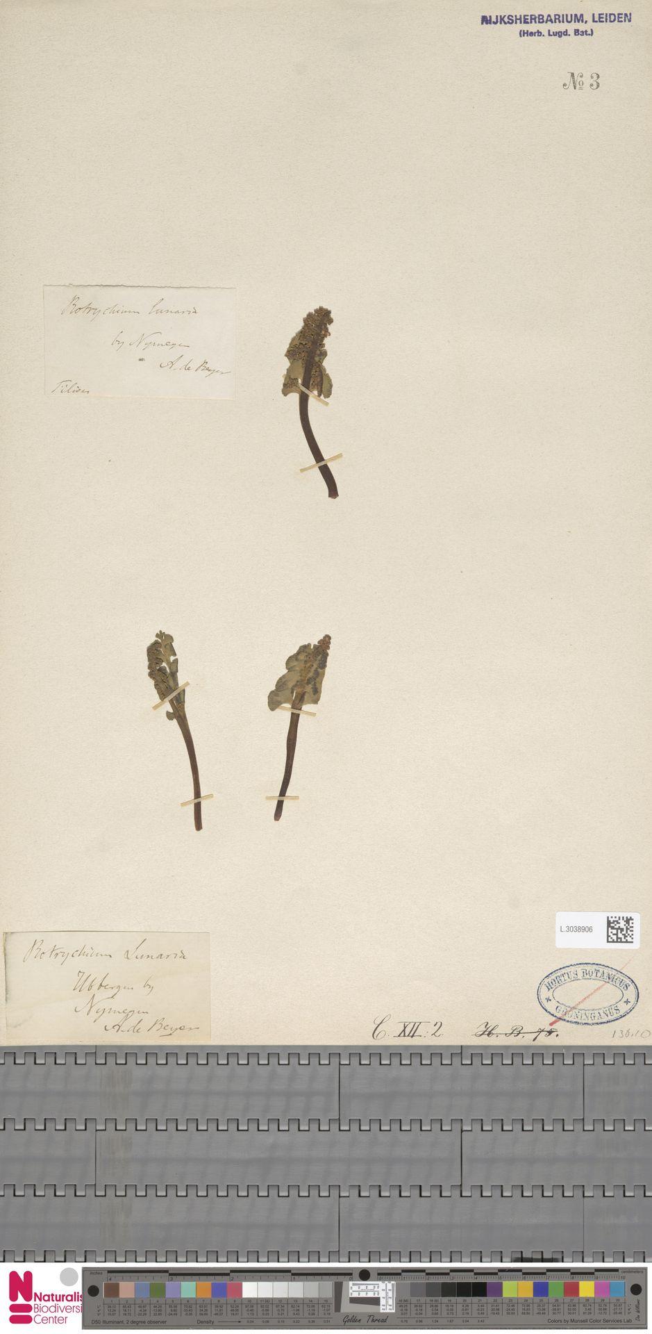 L.3038906 | Botrychium lunaria (L.) Sw.