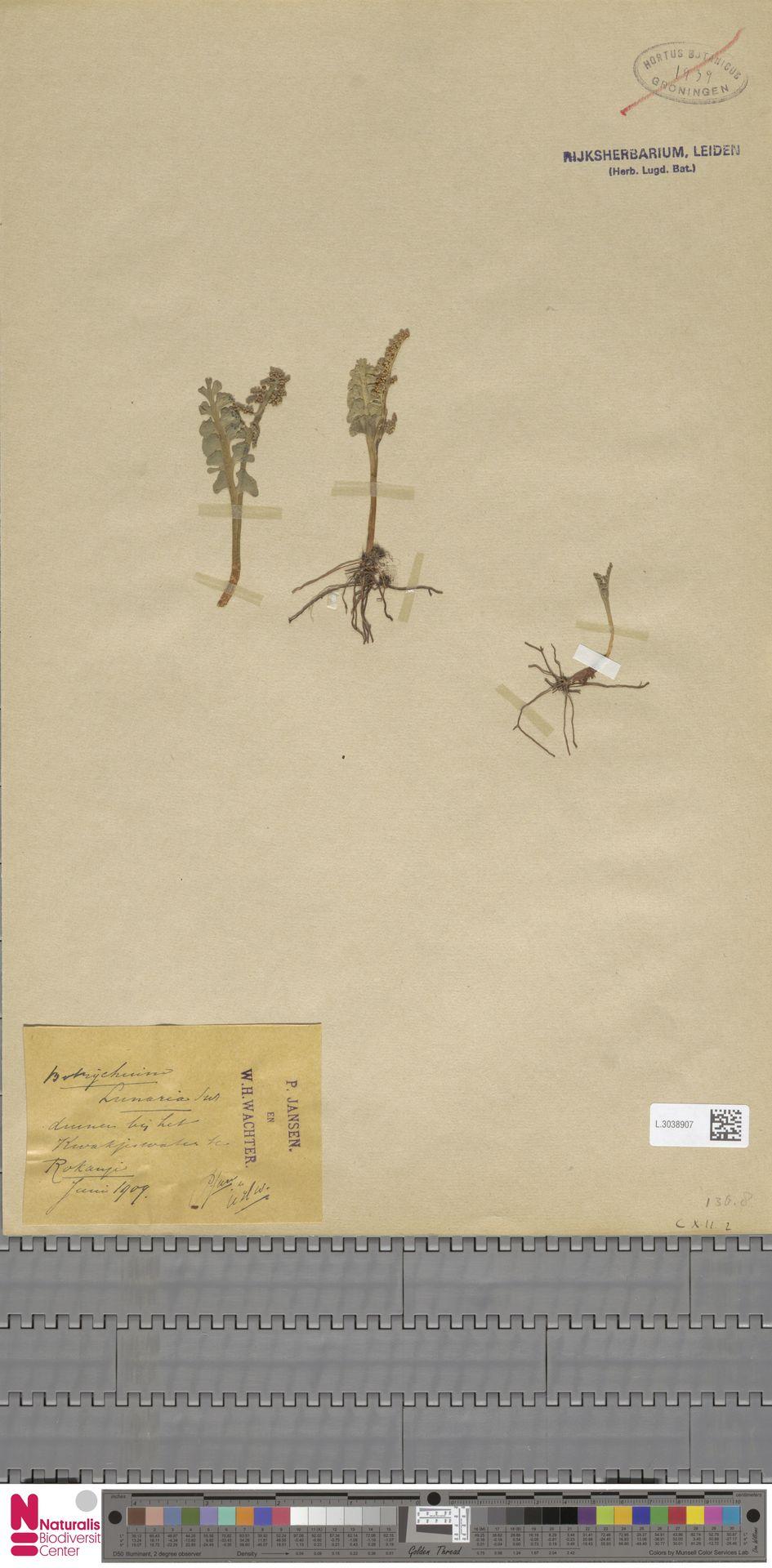 L.3038907 | Botrychium lunaria (L.) Sw.
