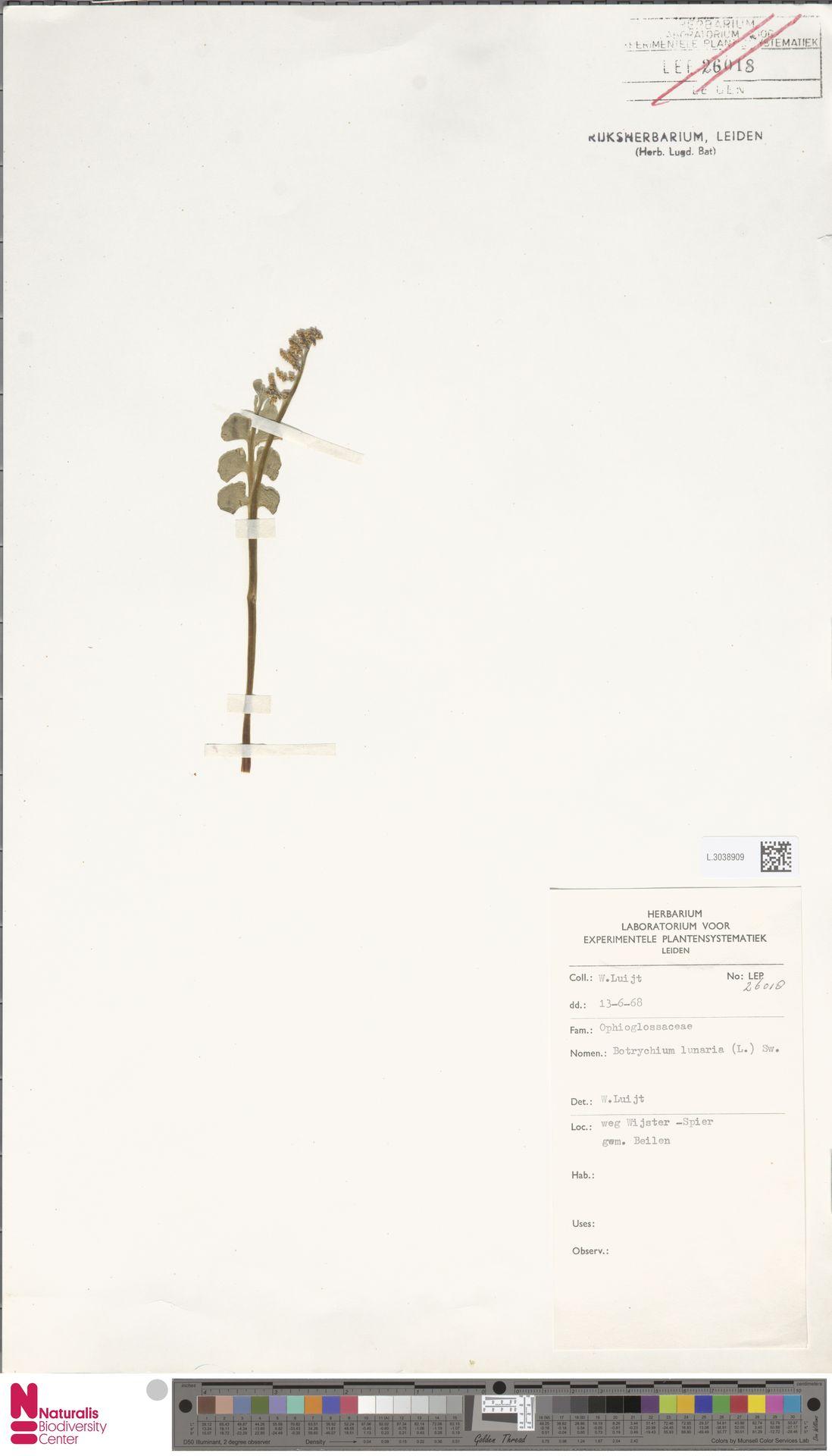L.3038909 | Botrychium lunaria (L.) Sw.