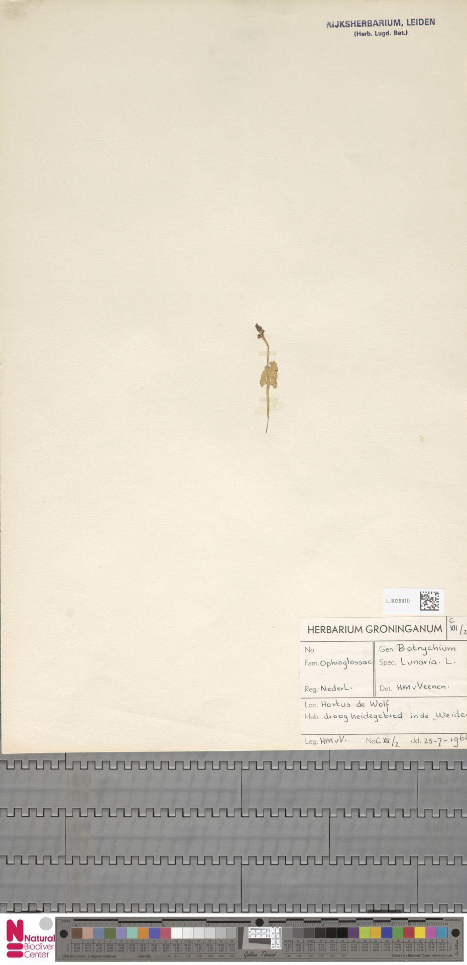 L.3038910   Botrychium lunaria (L.) Sw.