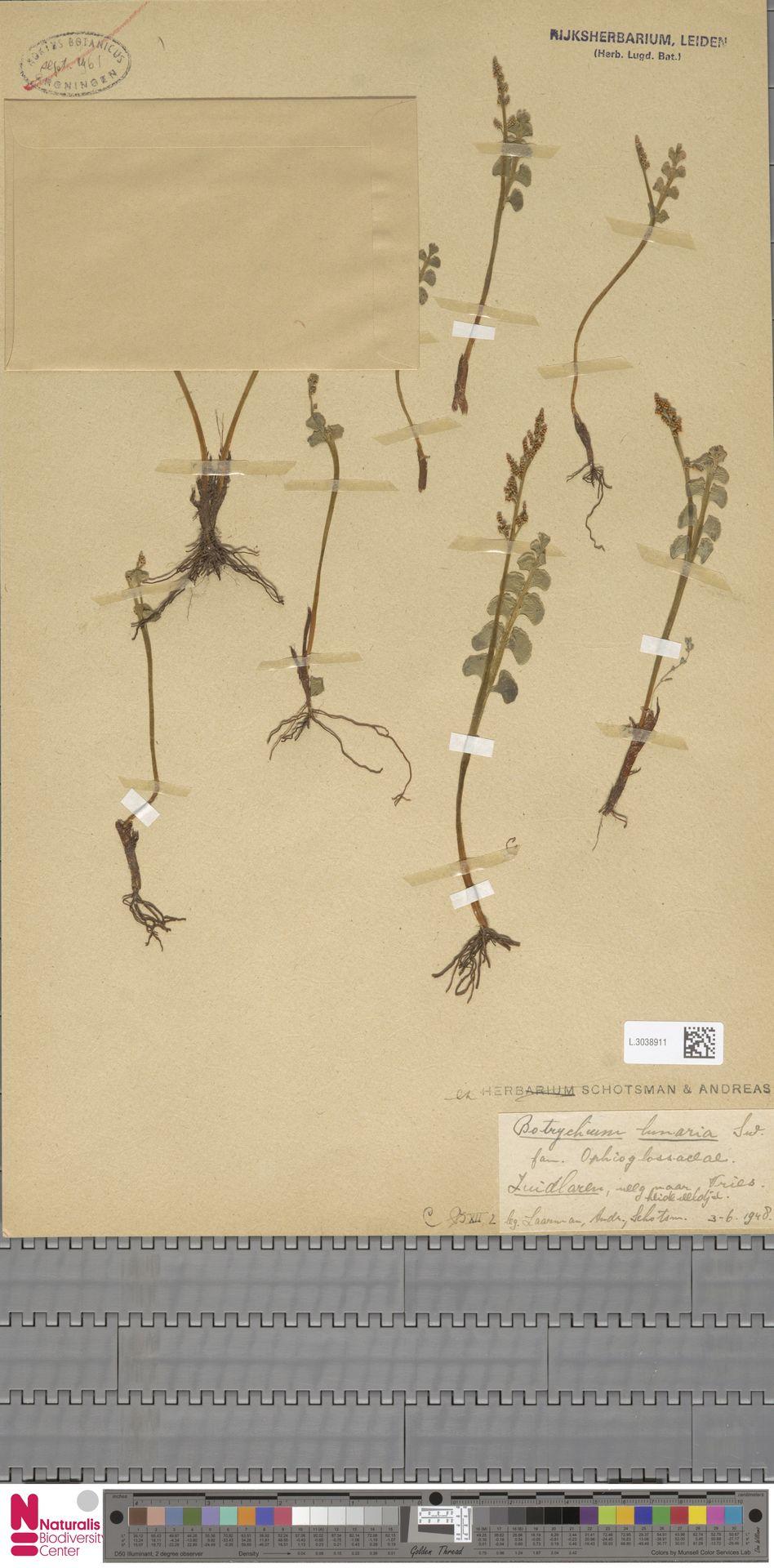 L.3038911 | Botrychium lunaria (L.) Sw.