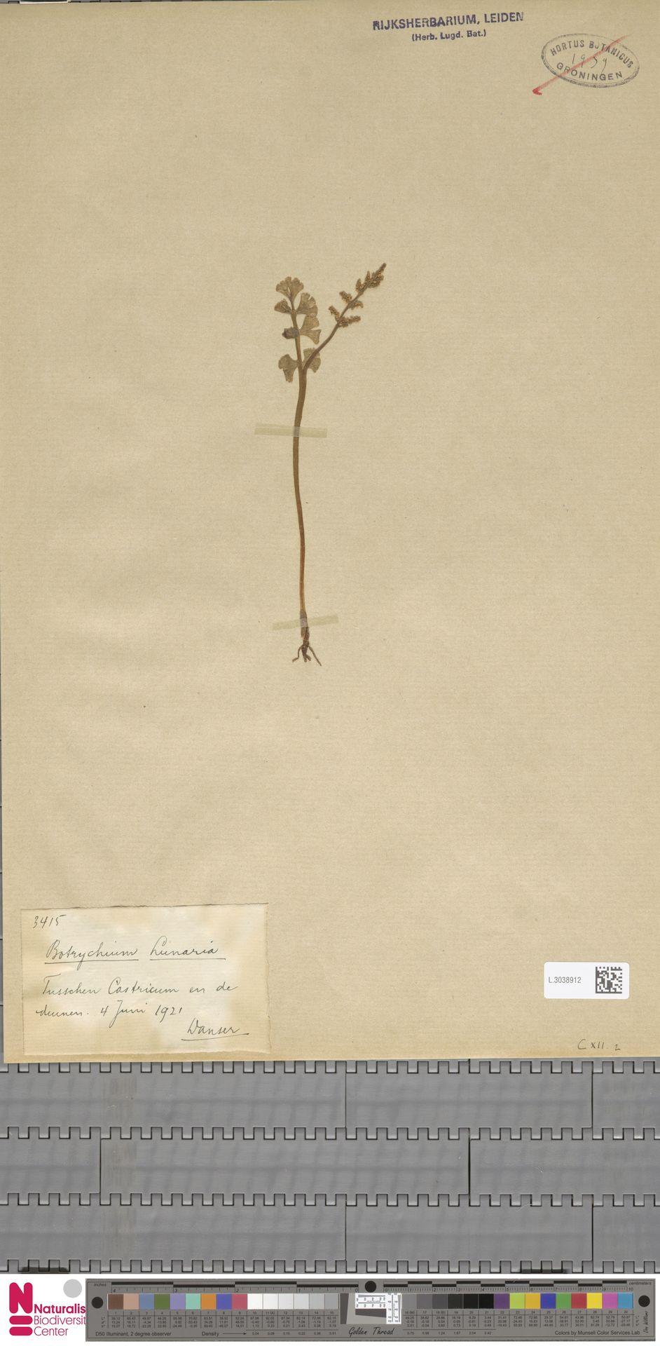 L.3038912 | Botrychium lunaria (L.) Sw.