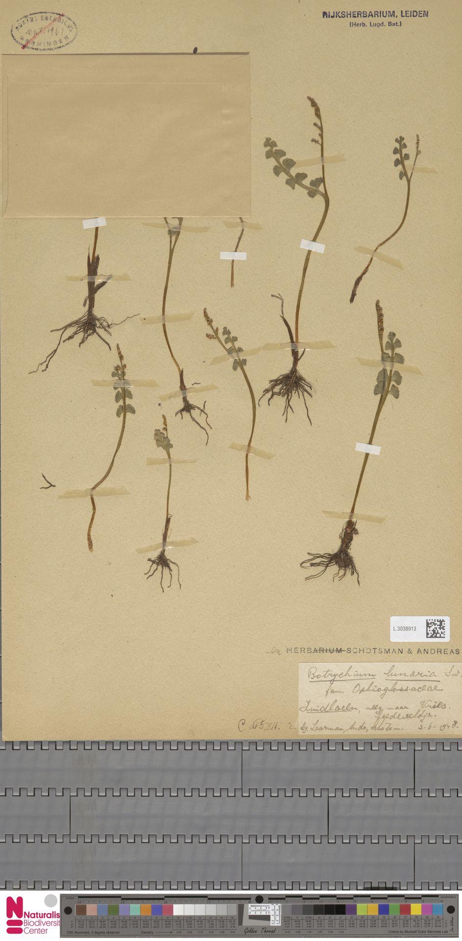 L.3038913 | Botrychium lunaria (L.) Sw.