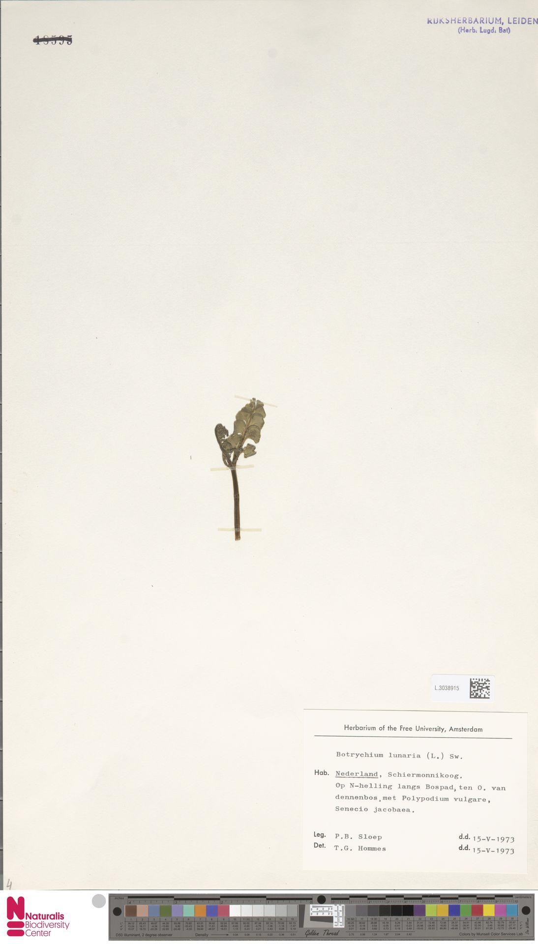 L.3038915 | Botrychium lunaria (L.) Sw.