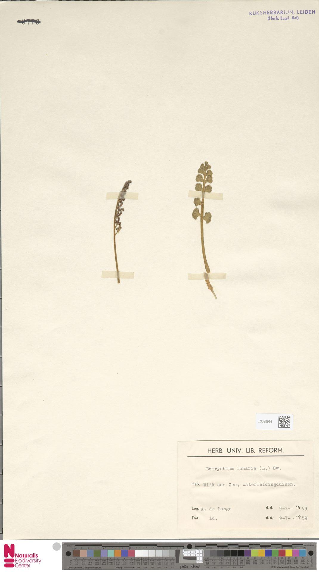 L.3038916 | Botrychium lunaria (L.) Sw.