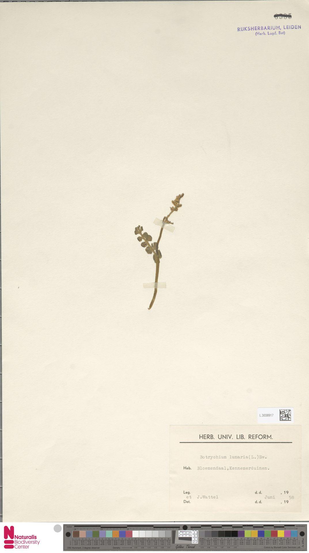 L.3038917 | Botrychium lunaria (L.) Sw.