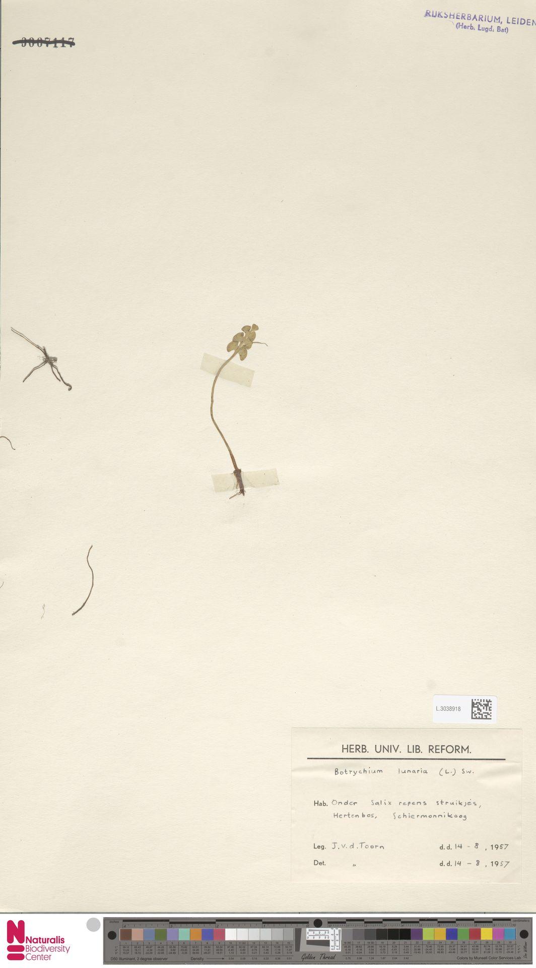 L.3038918 | Botrychium lunaria (L.) Sw.