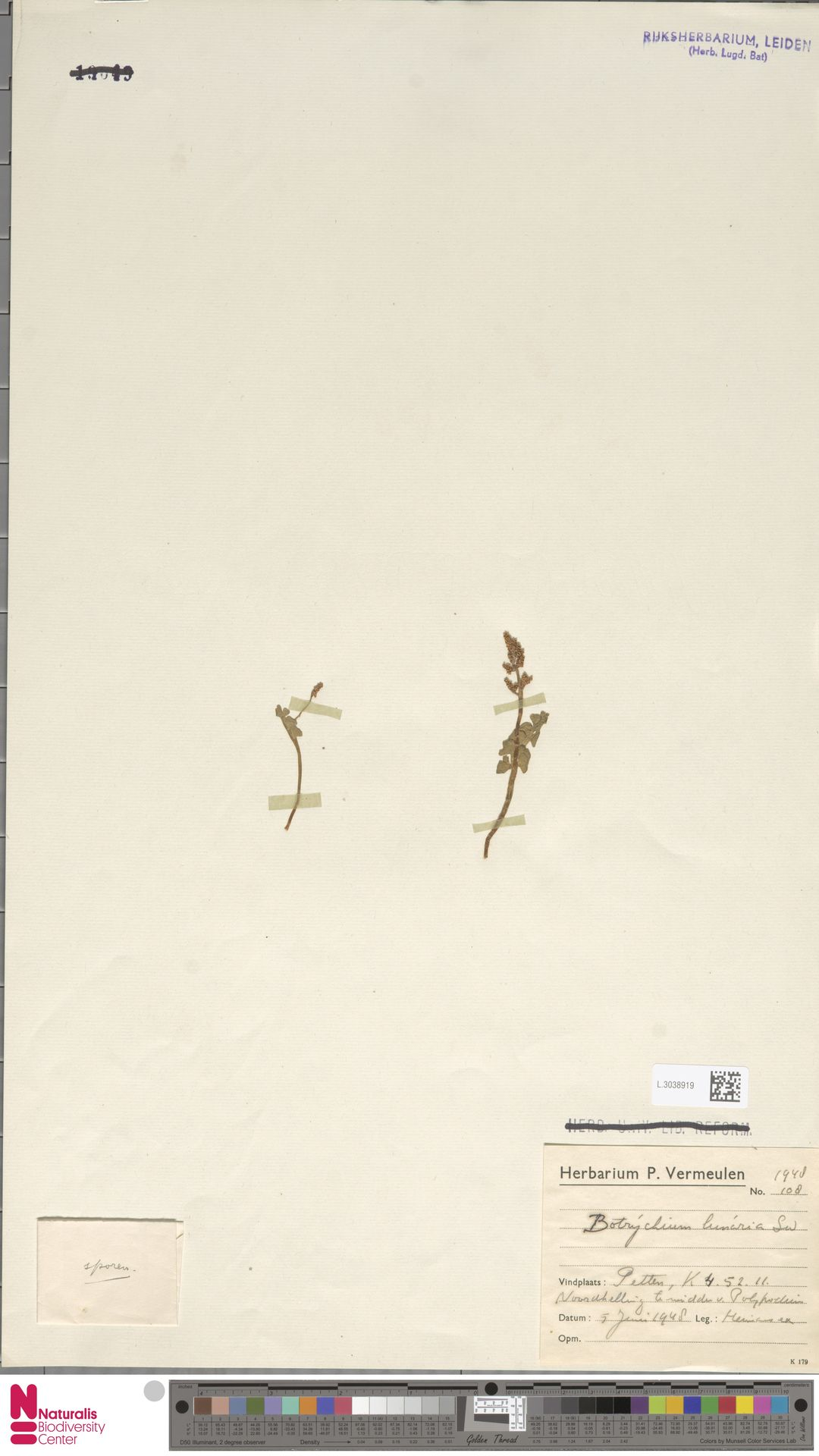 L.3038919   Botrychium lunaria (L.) Sw.