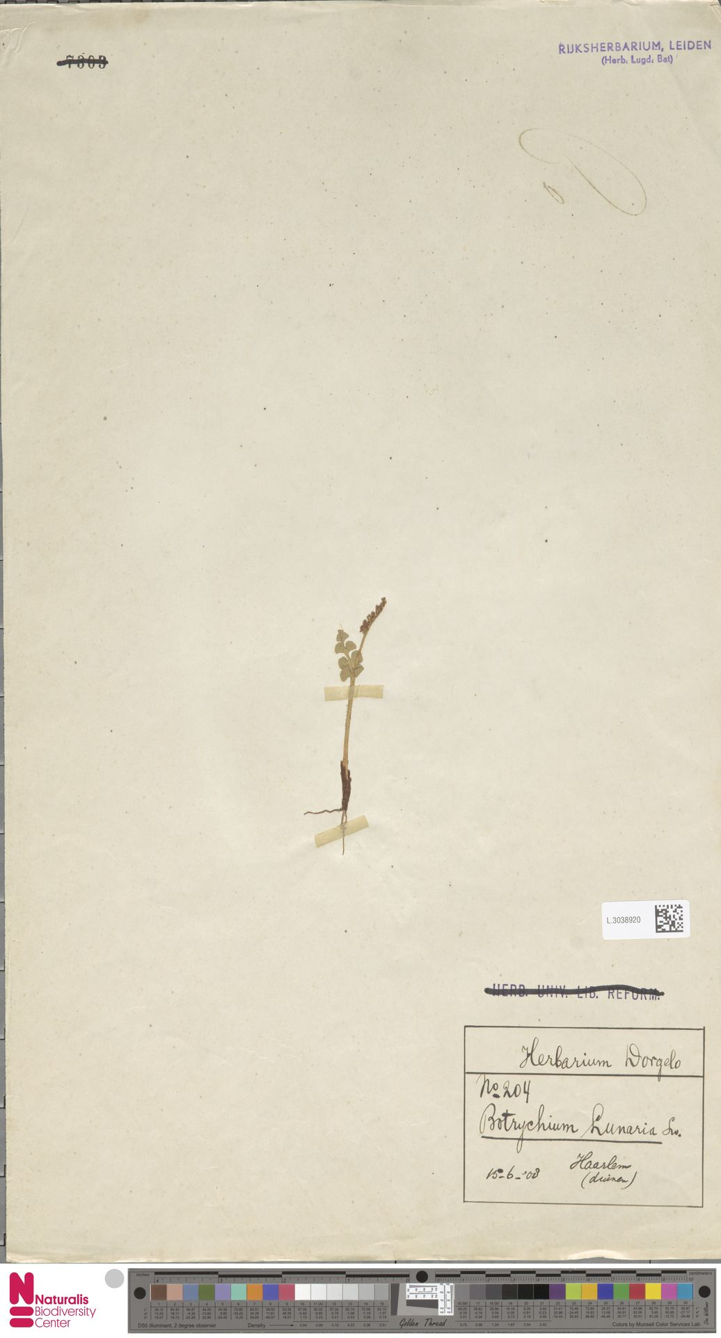 L.3038920 | Botrychium lunaria (L.) Sw.