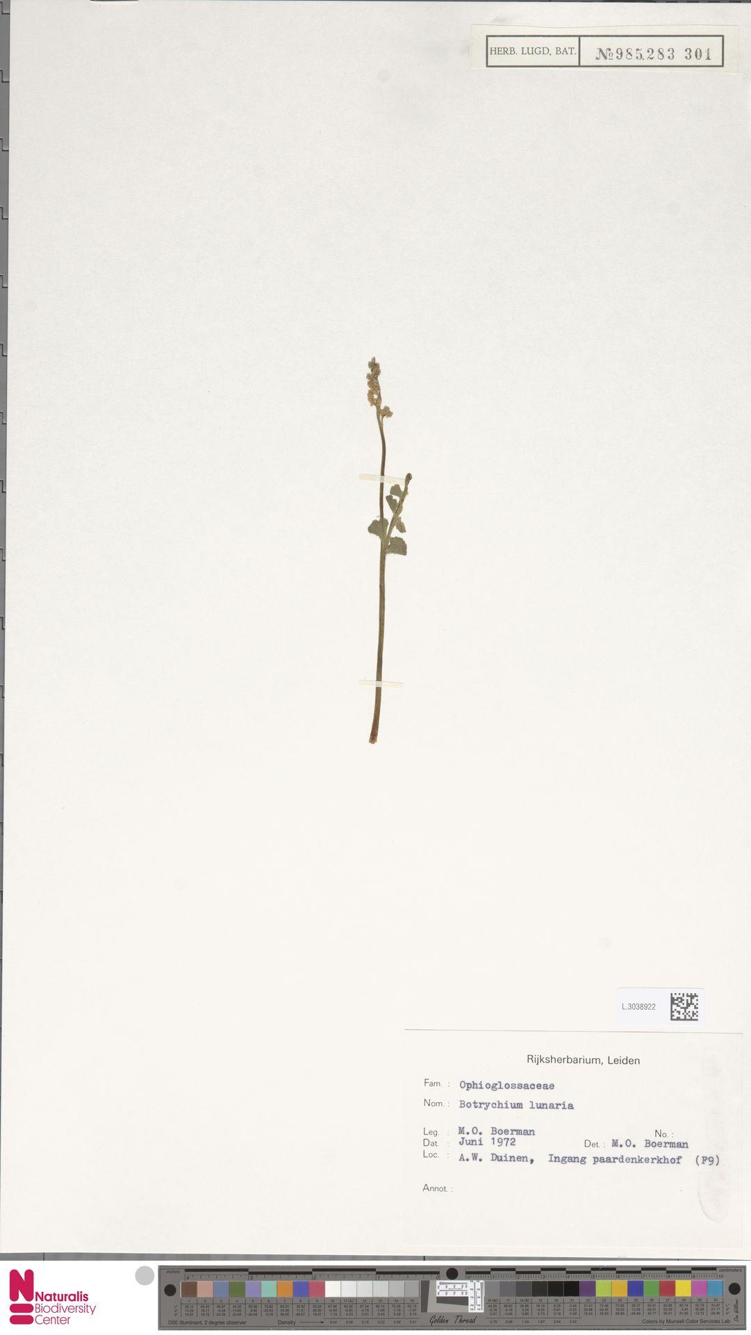 L.3038922 | Botrychium lunaria (L.) Sw.