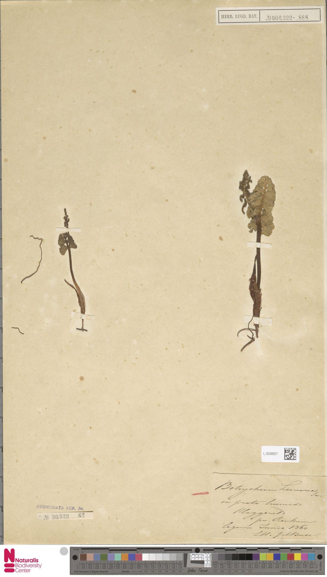 L.3038927 | Botrychium lunaria (L.) Sw.