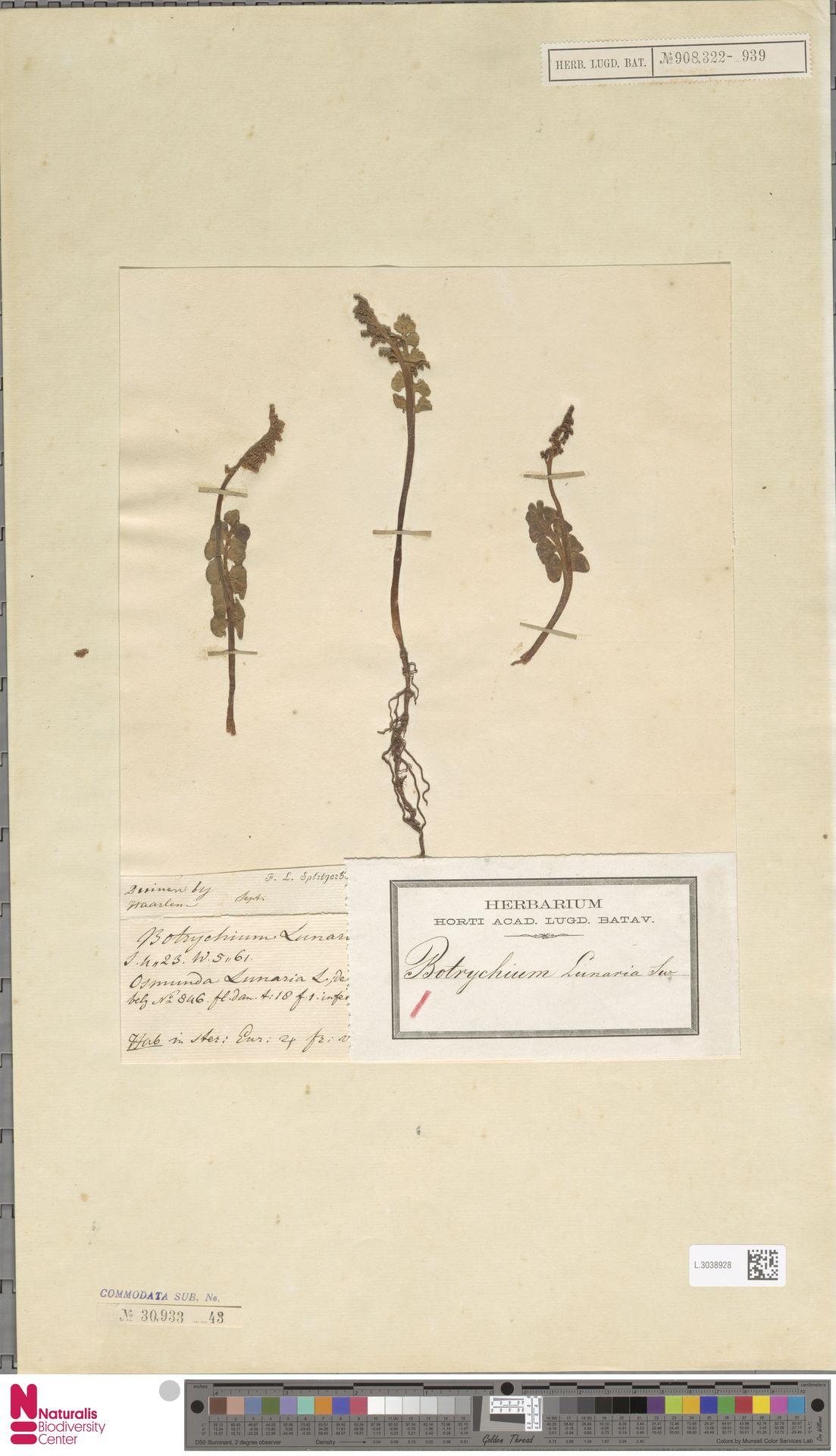 L.3038928 | Botrychium lunaria (L.) Sw.