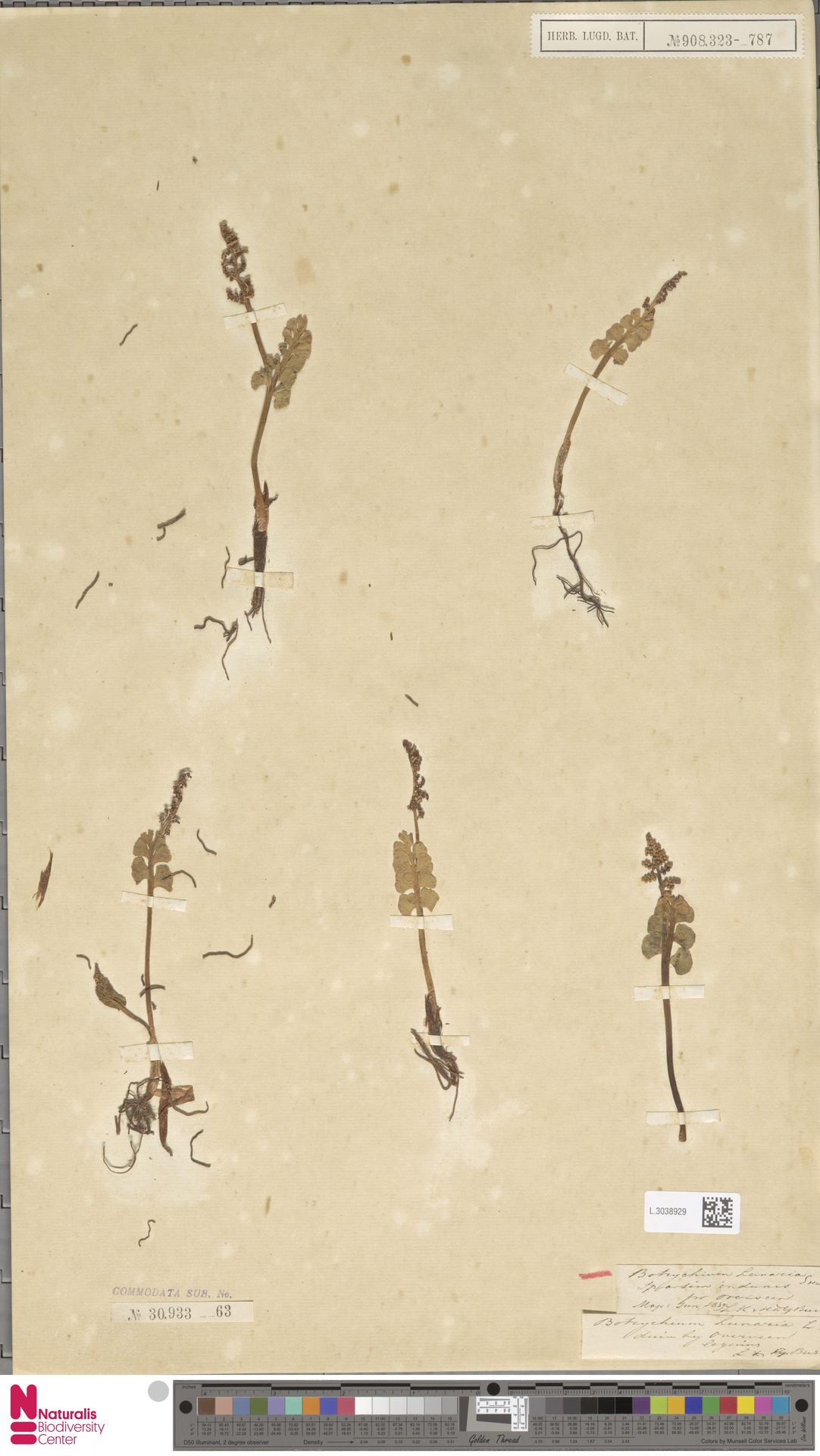 L.3038929 | Botrychium lunaria (L.) Sw.