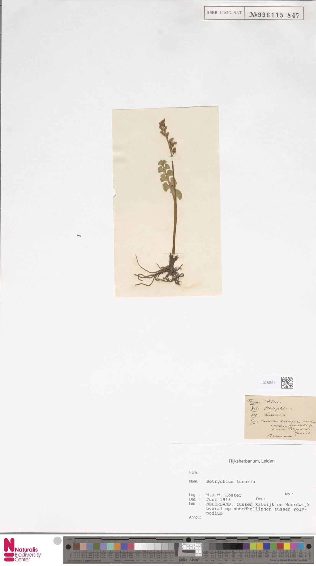 L.3038931 | Botrychium lunaria (L.) Sw.