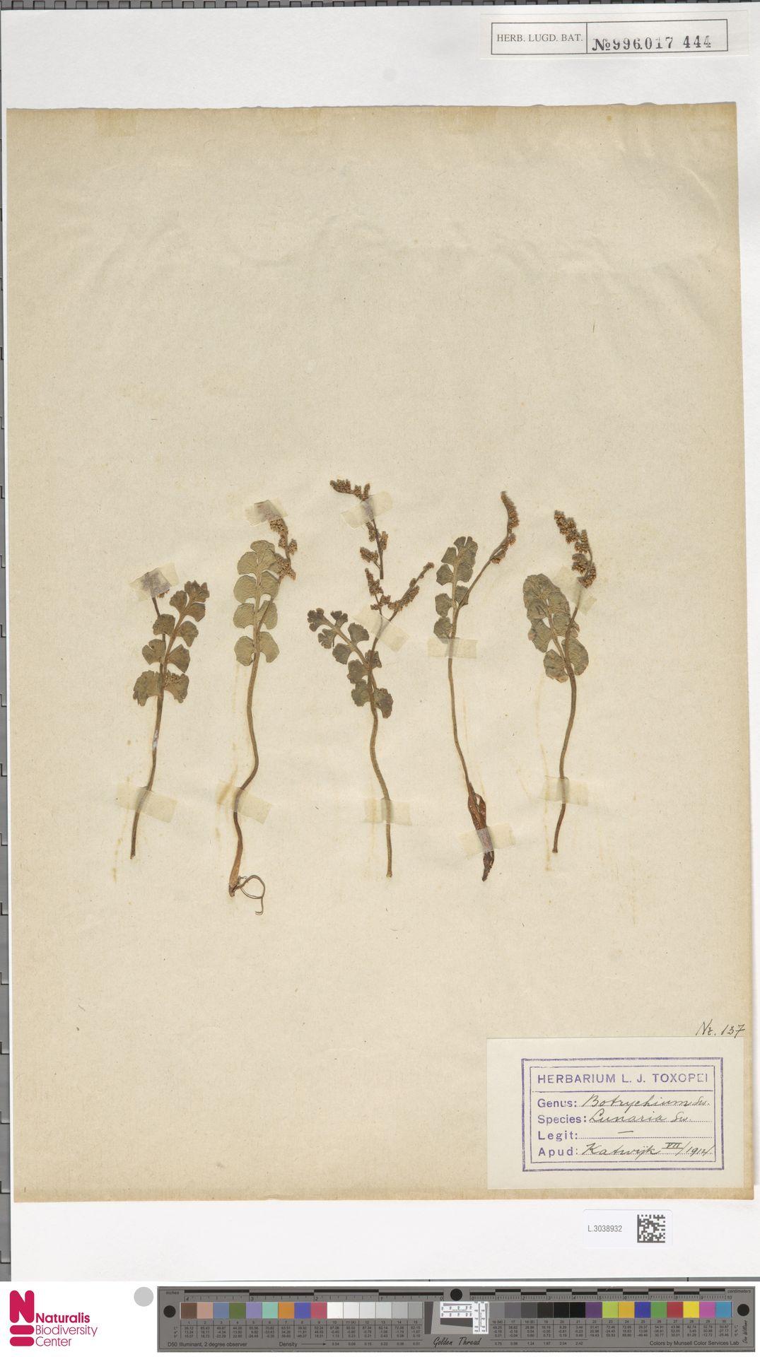 L.3038932 | Botrychium lunaria (L.) Sw.
