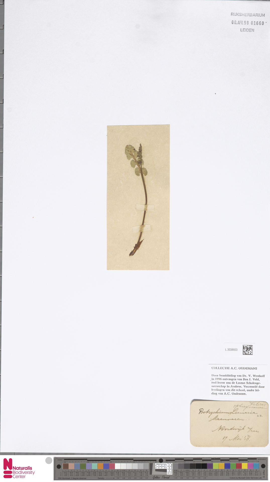 L.3038933 | Botrychium lunaria (L.) Sw.