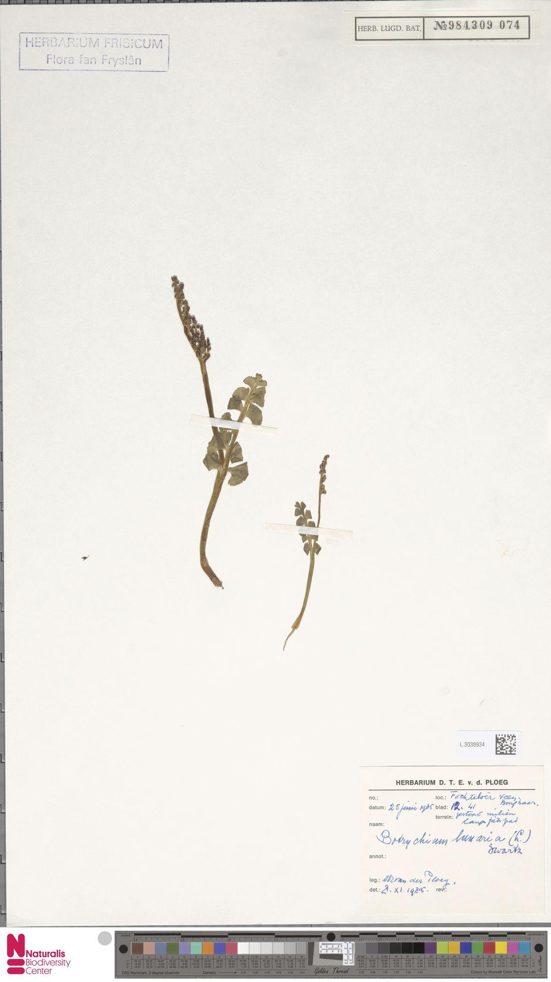 L.3038934 | Botrychium lunaria (L.) Sw.