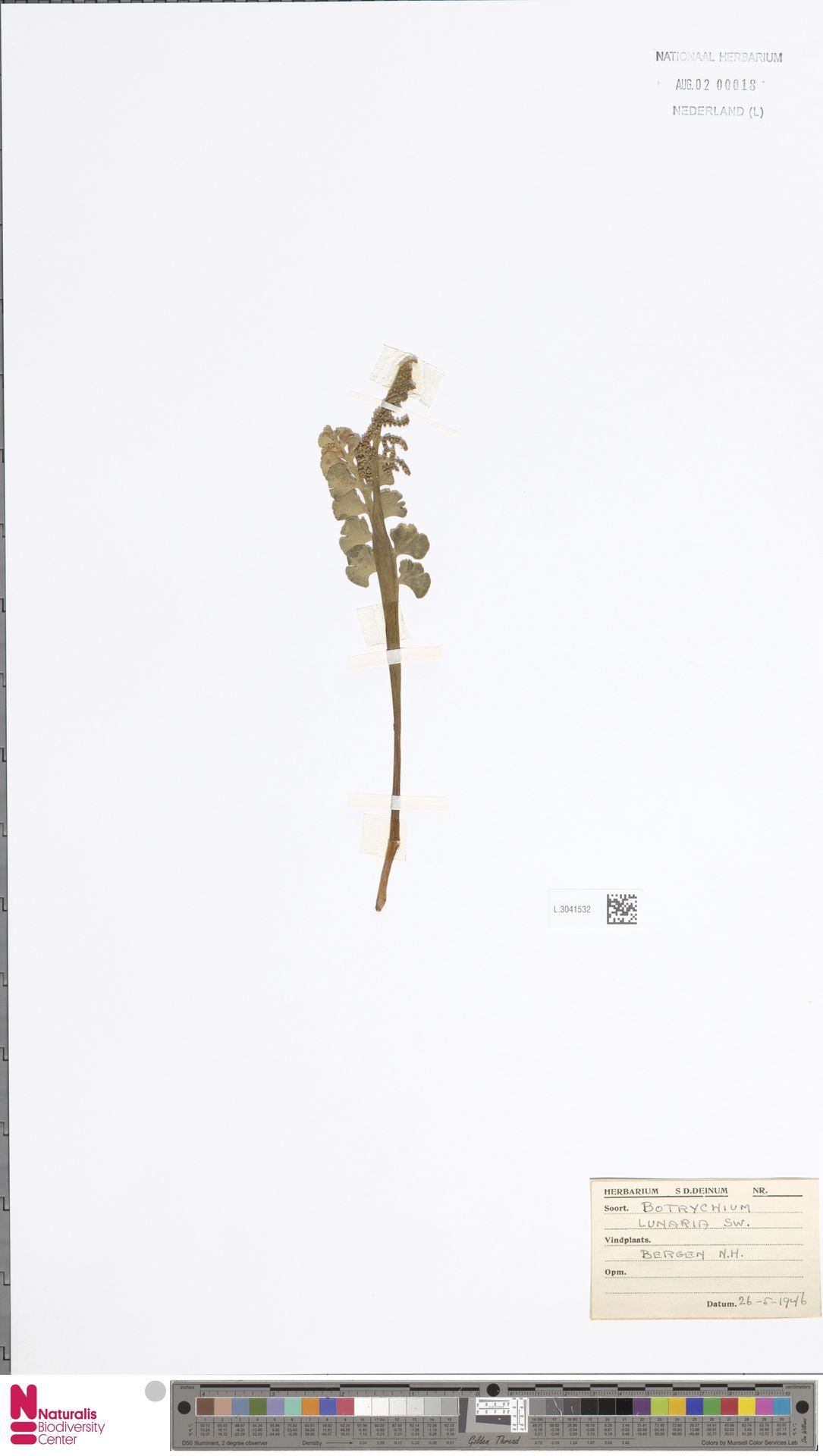 L.3041532 | Botrychium lunaria (L.) Sw.