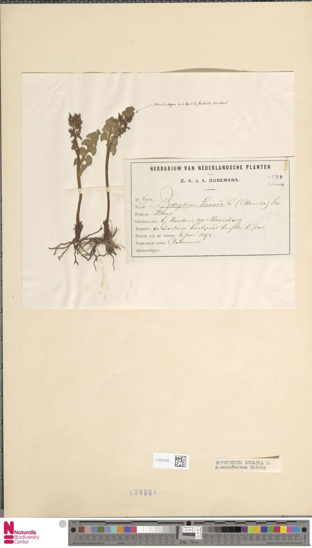 L.3041539 | Botrychium lunaria (L.) Sw.