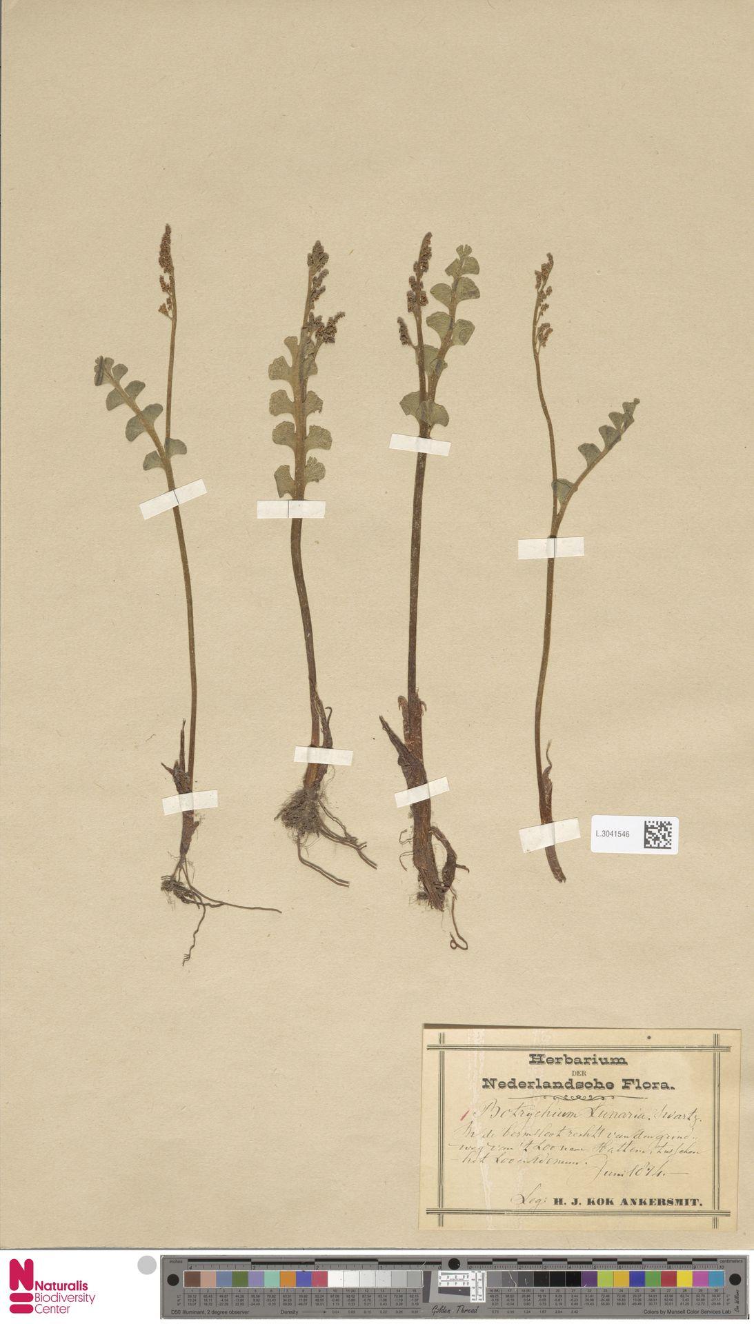L.3041546   Botrychium lunaria (L.) Sw.