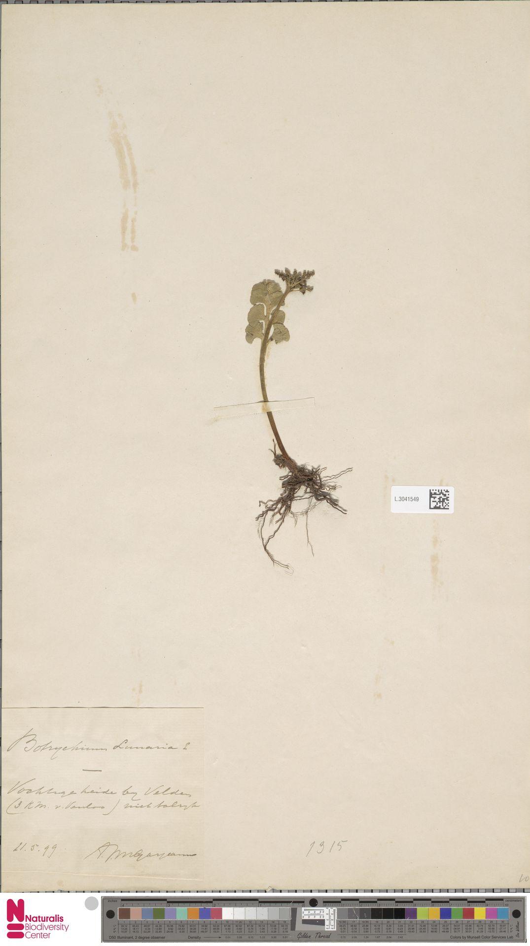 L.3041549 | Botrychium lunaria (L.) Sw.