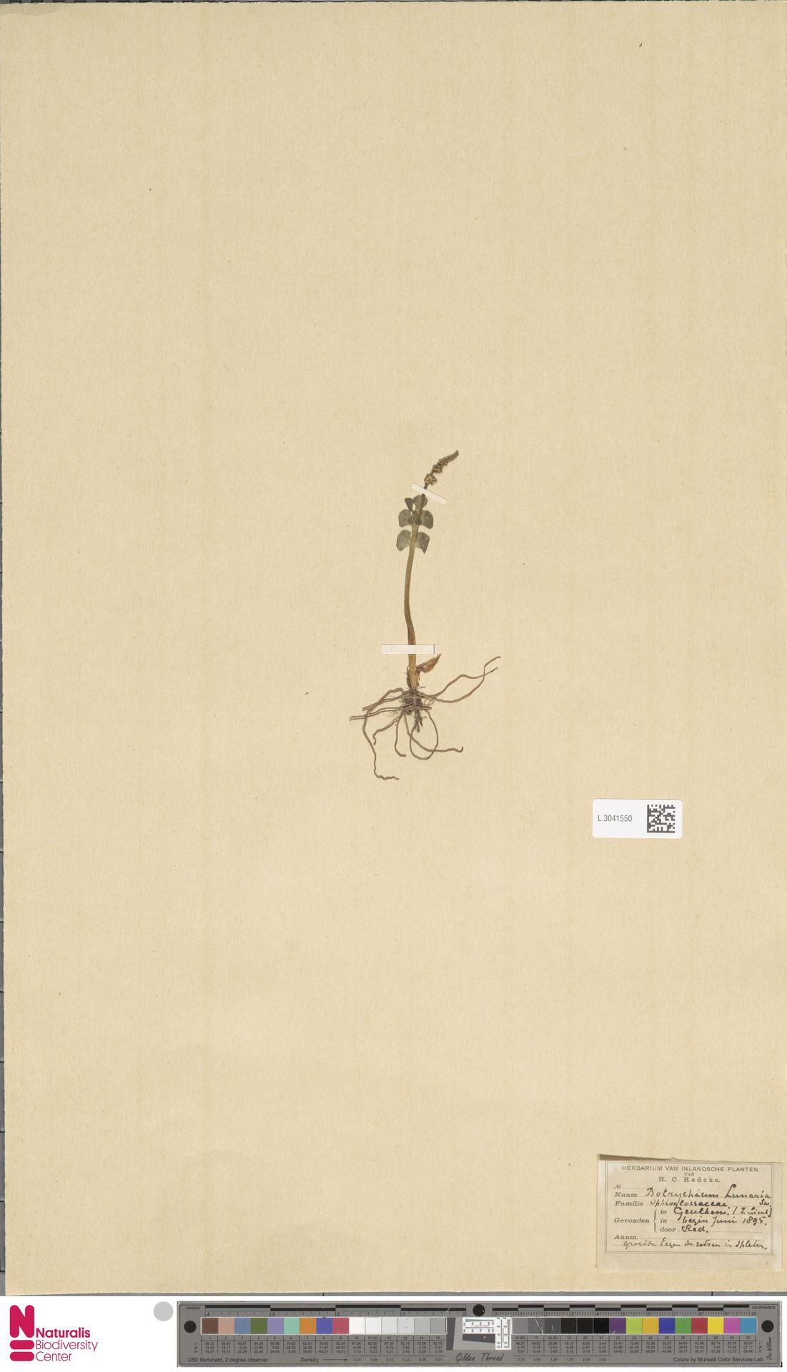 L.3041550 | Botrychium lunaria (L.) Sw.