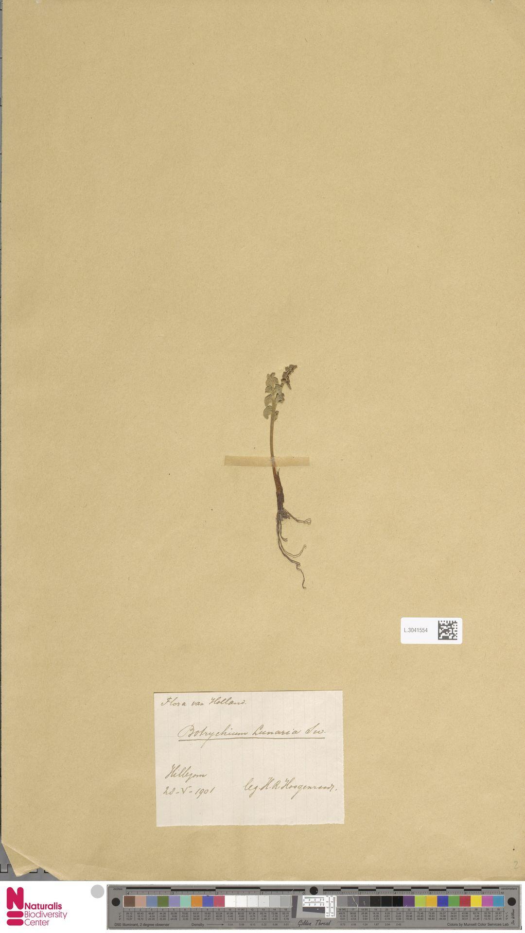 L.3041554 | Botrychium lunaria (L.) Sw.
