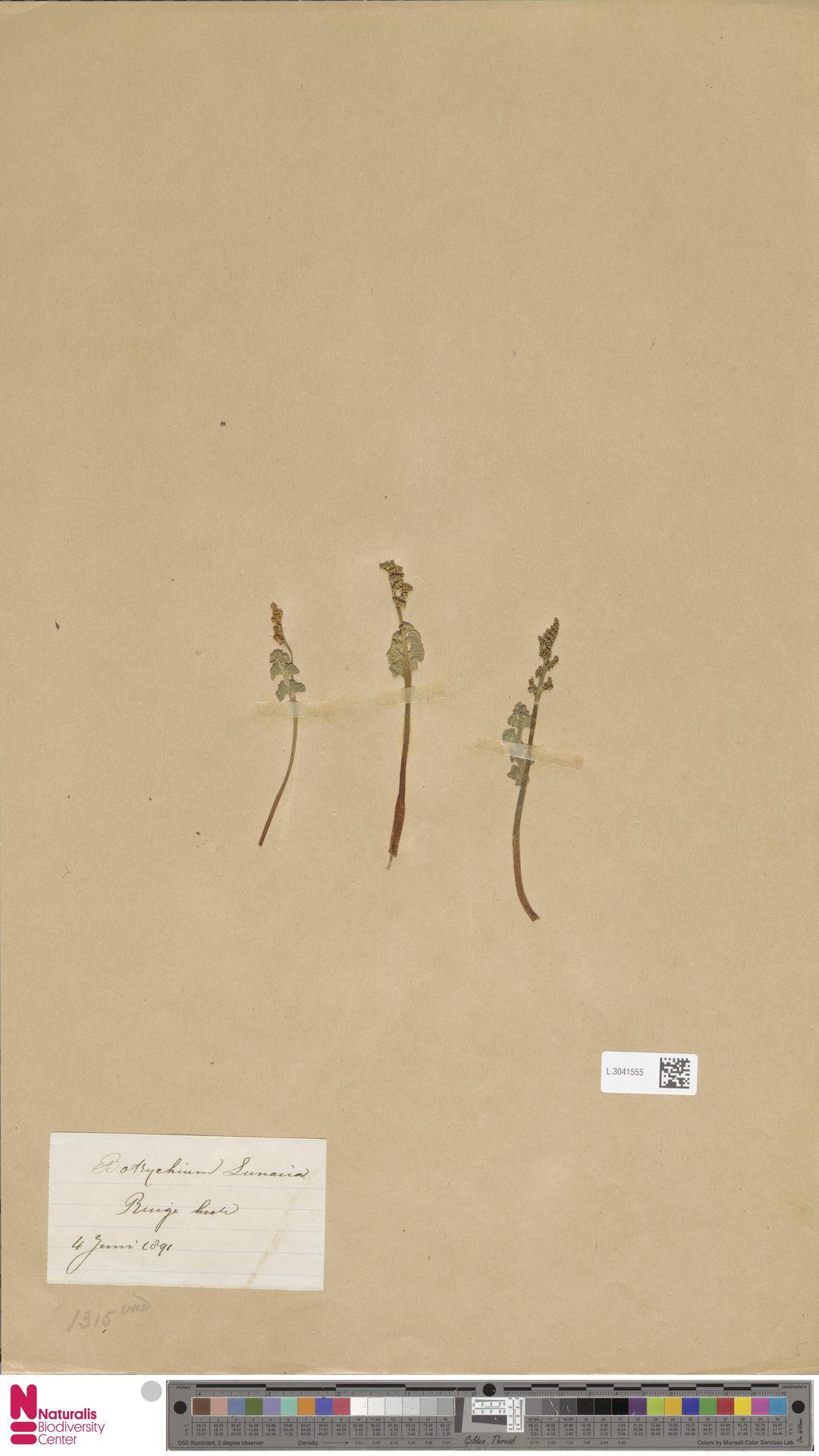 L.3041555   Botrychium lunaria (L.) Sw.
