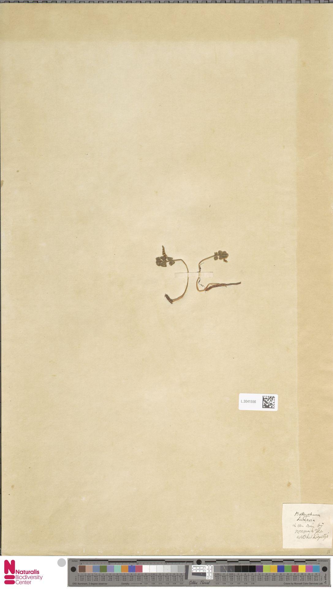 L.3041556 | Botrychium lunaria (L.) Sw.