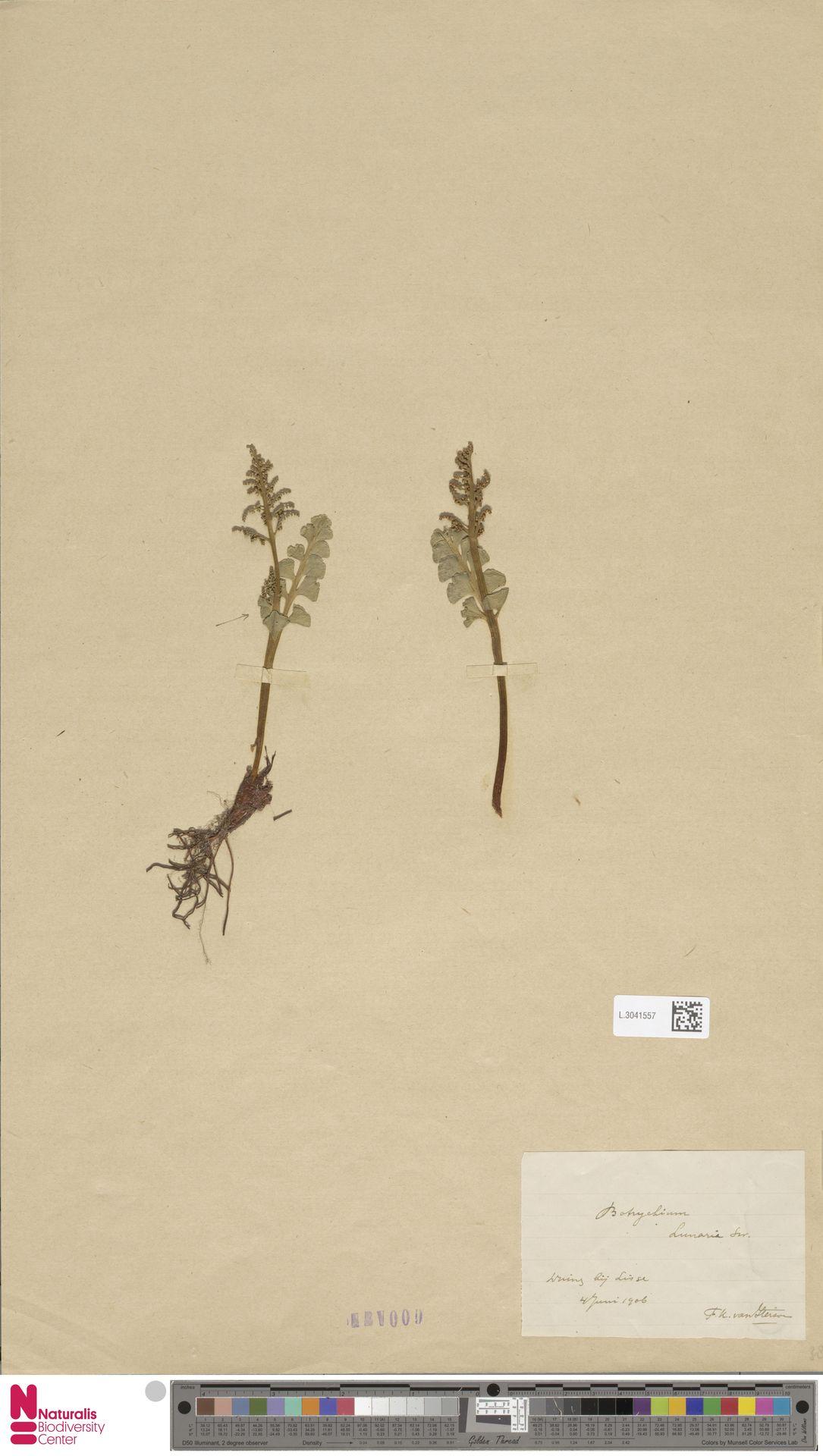 L.3041557 | Botrychium lunaria (L.) Sw.