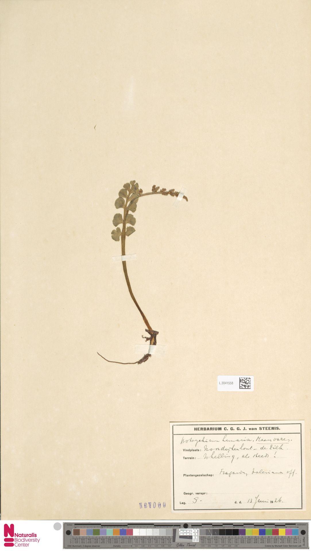 L.3041558 | Botrychium lunaria (L.) Sw.
