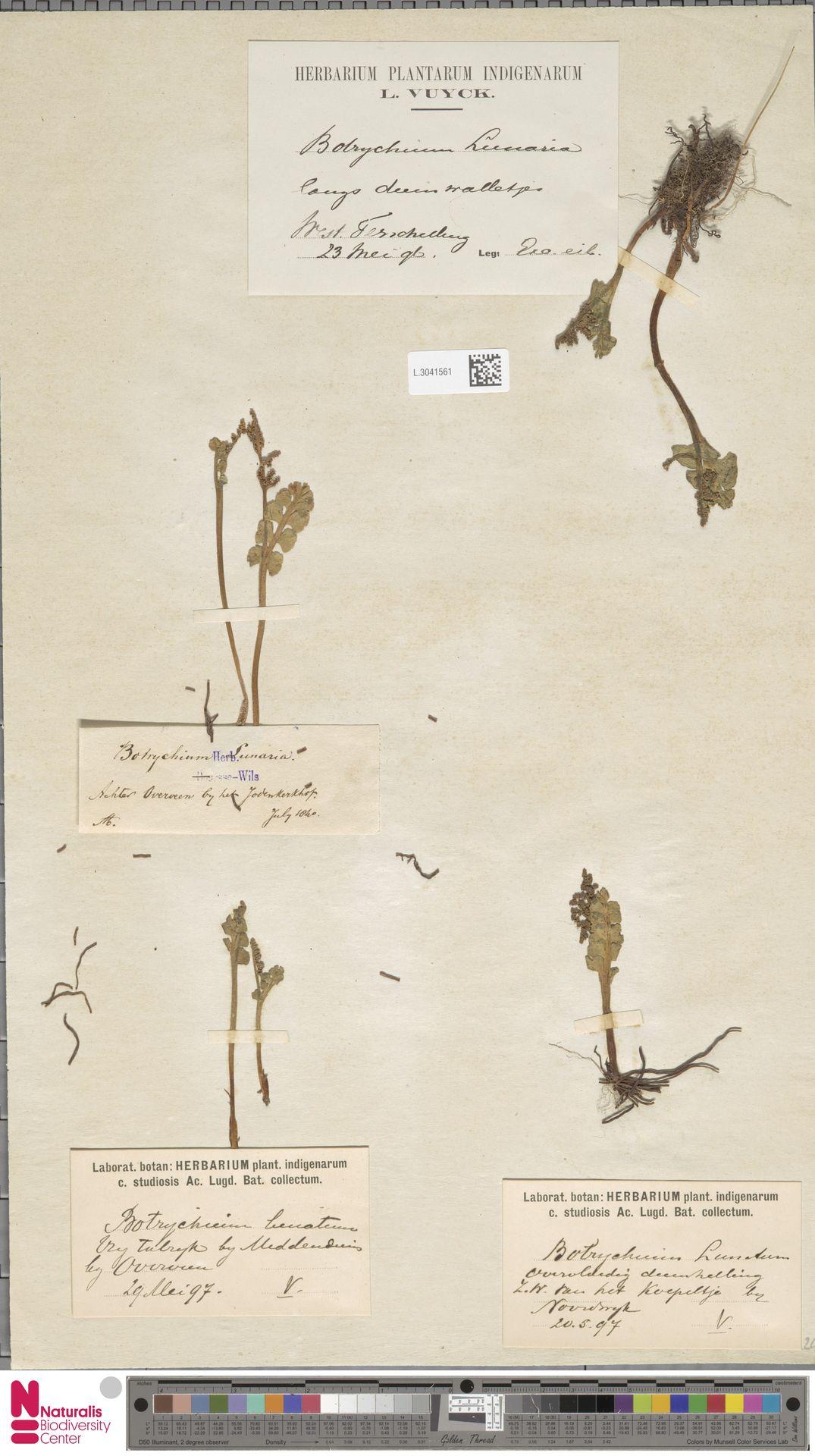 L.3041561 | Botrychium lunaria (L.) Sw.