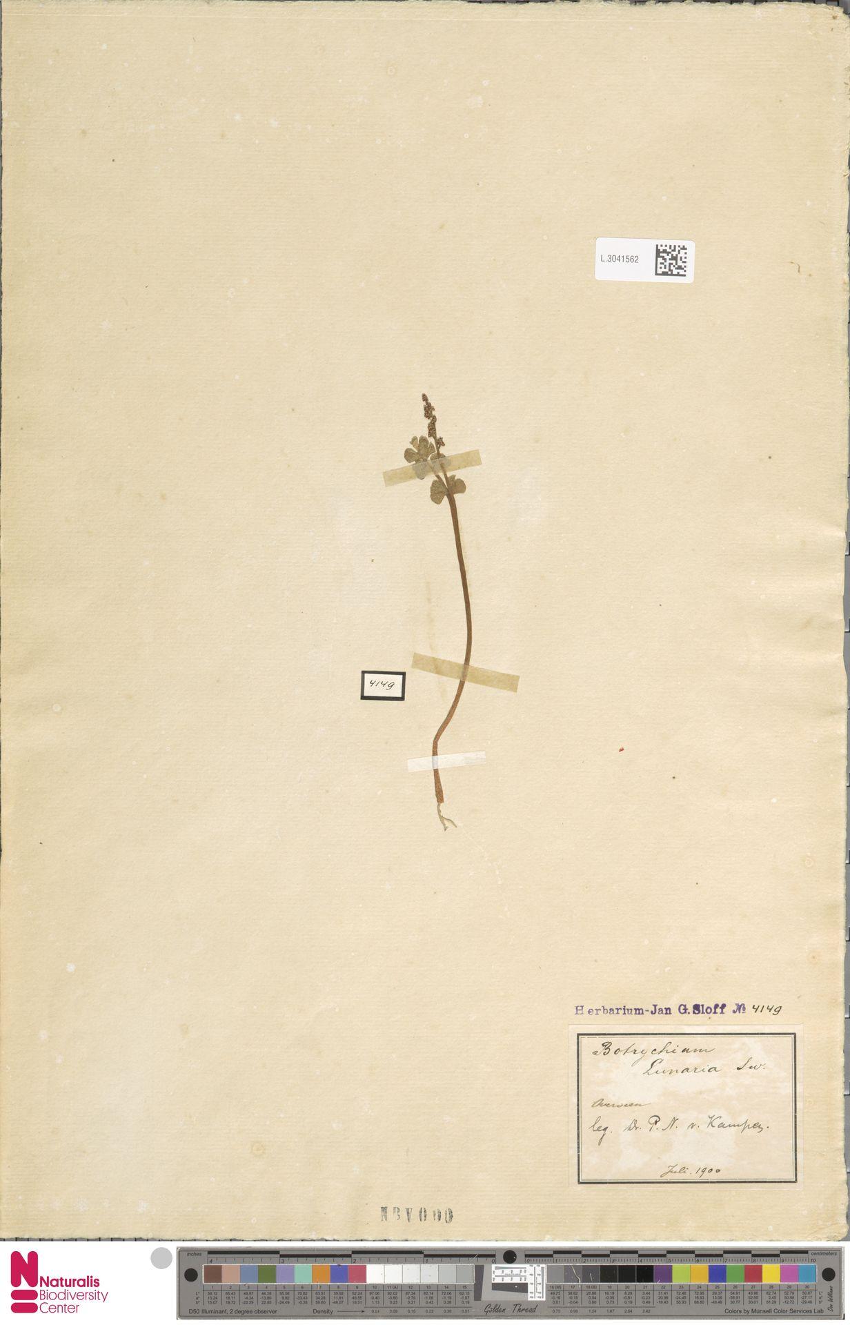 L.3041562 | Botrychium lunaria (L.) Sw.
