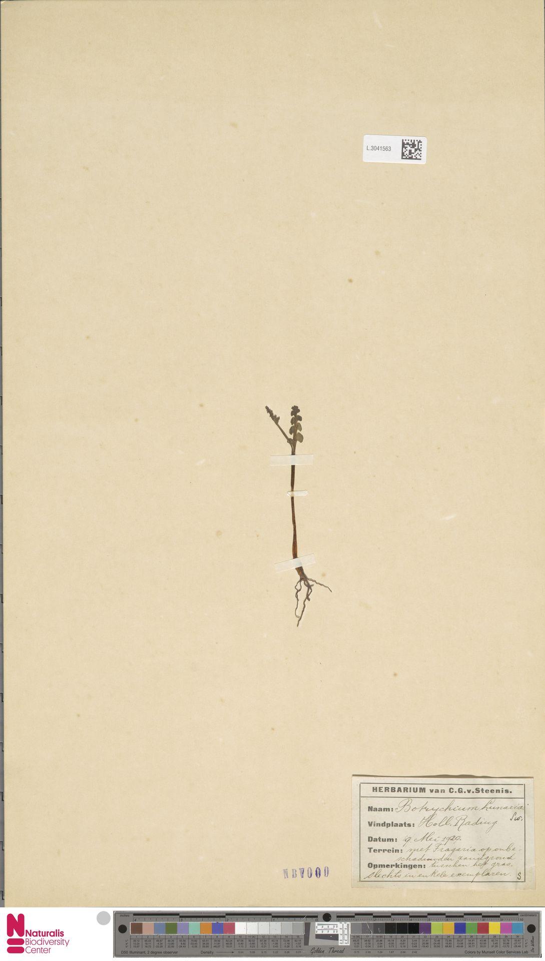 L.3041563 | Botrychium lunaria (L.) Sw.
