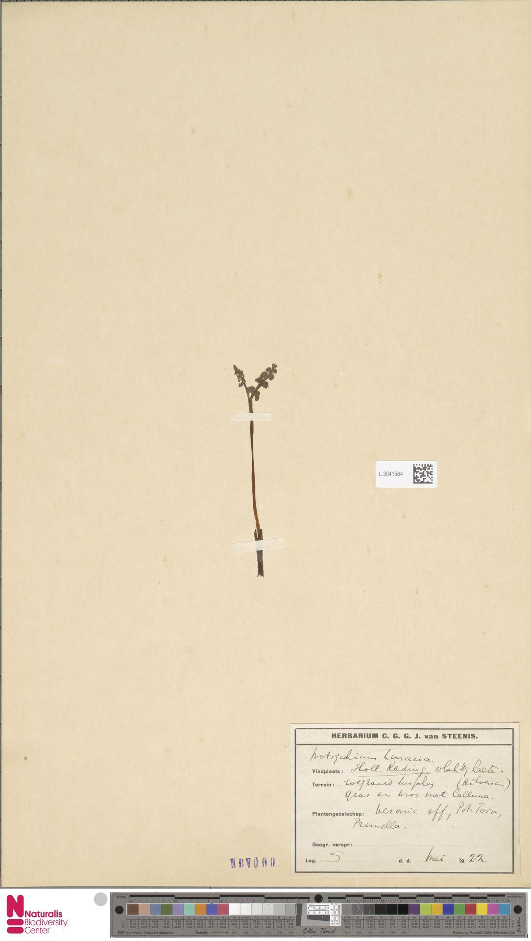 L.3041564 | Botrychium lunaria (L.) Sw.