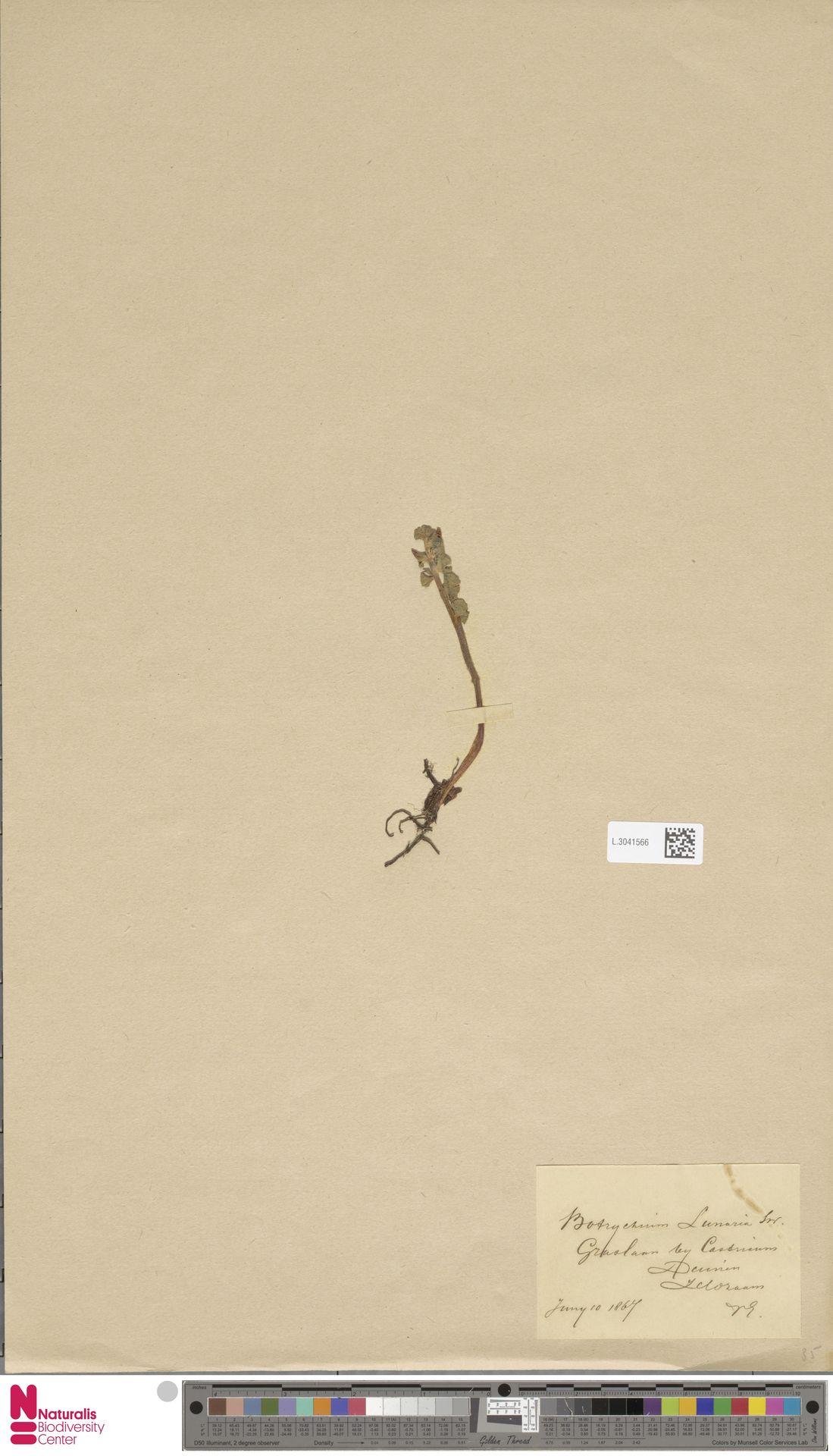 L.3041566 | Botrychium lunaria (L.) Sw.