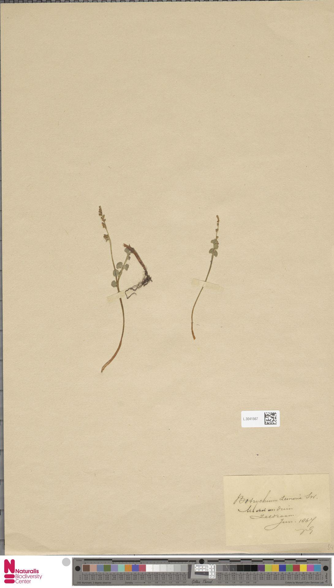 L.3041567 | Botrychium lunaria (L.) Sw.