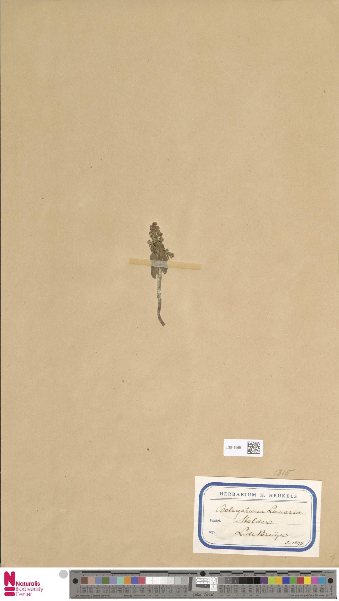 L.3041569 | Botrychium lunaria (L.) Sw.