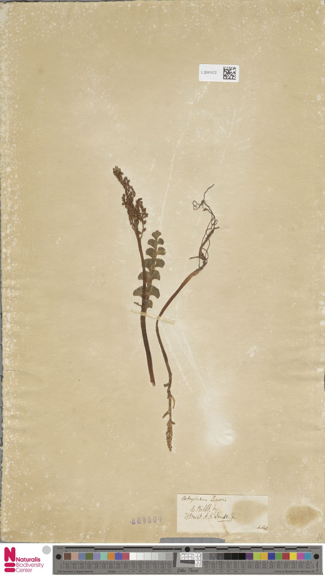 L.3041572 | Botrychium lunaria (L.) Sw.
